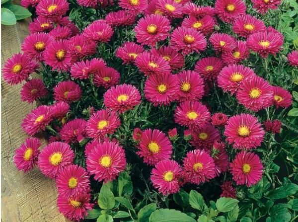Roses guillot for Plantes a fleurs vivaces