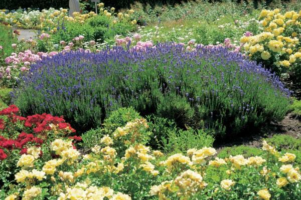Prot ger ses plantes ses rosiers du froid roses guillot for Plantes et arbustes vivaces
