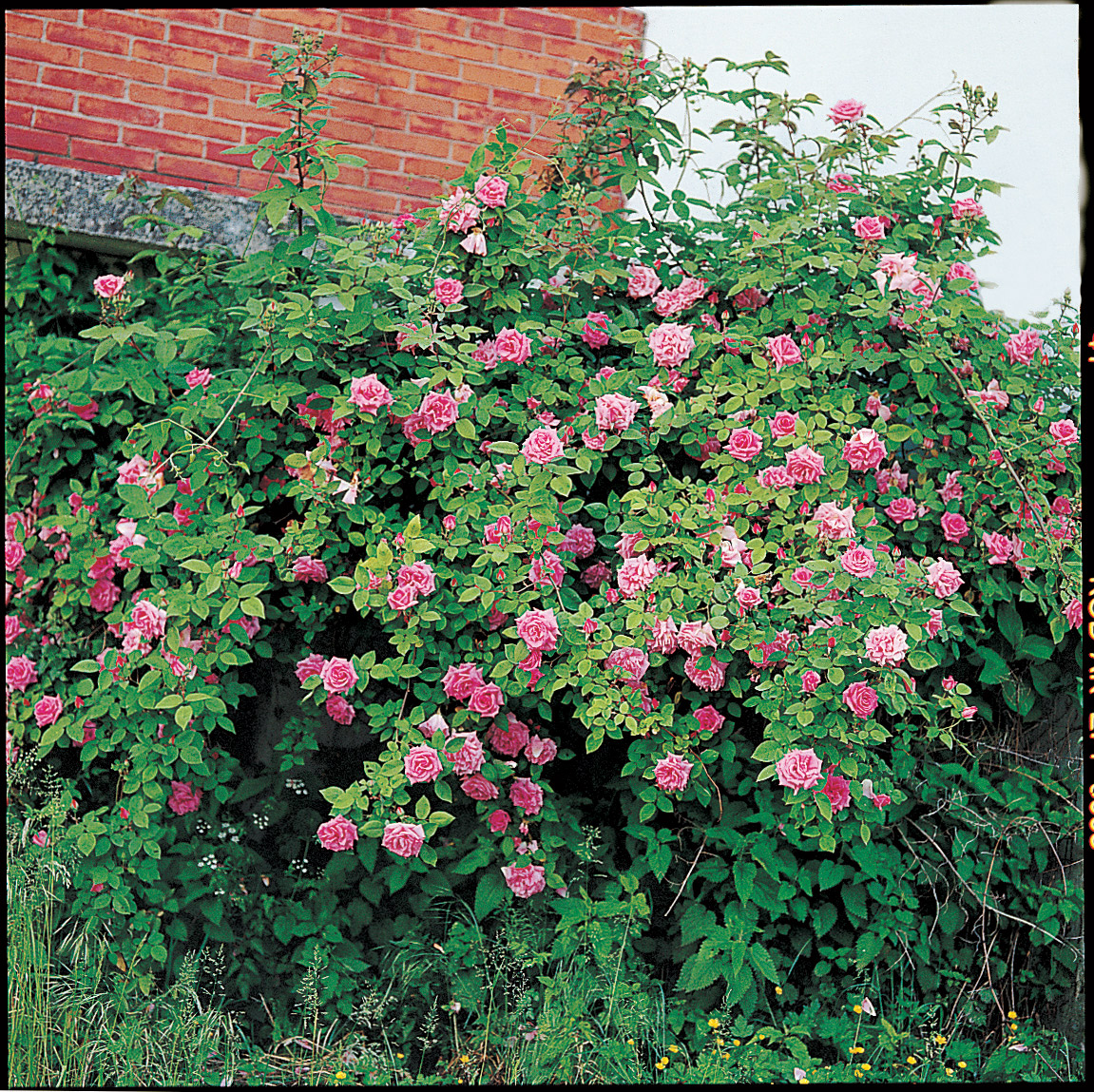Rosier sans pine d finition et exemples roses guillot - Rosier grimpant sans epine ...