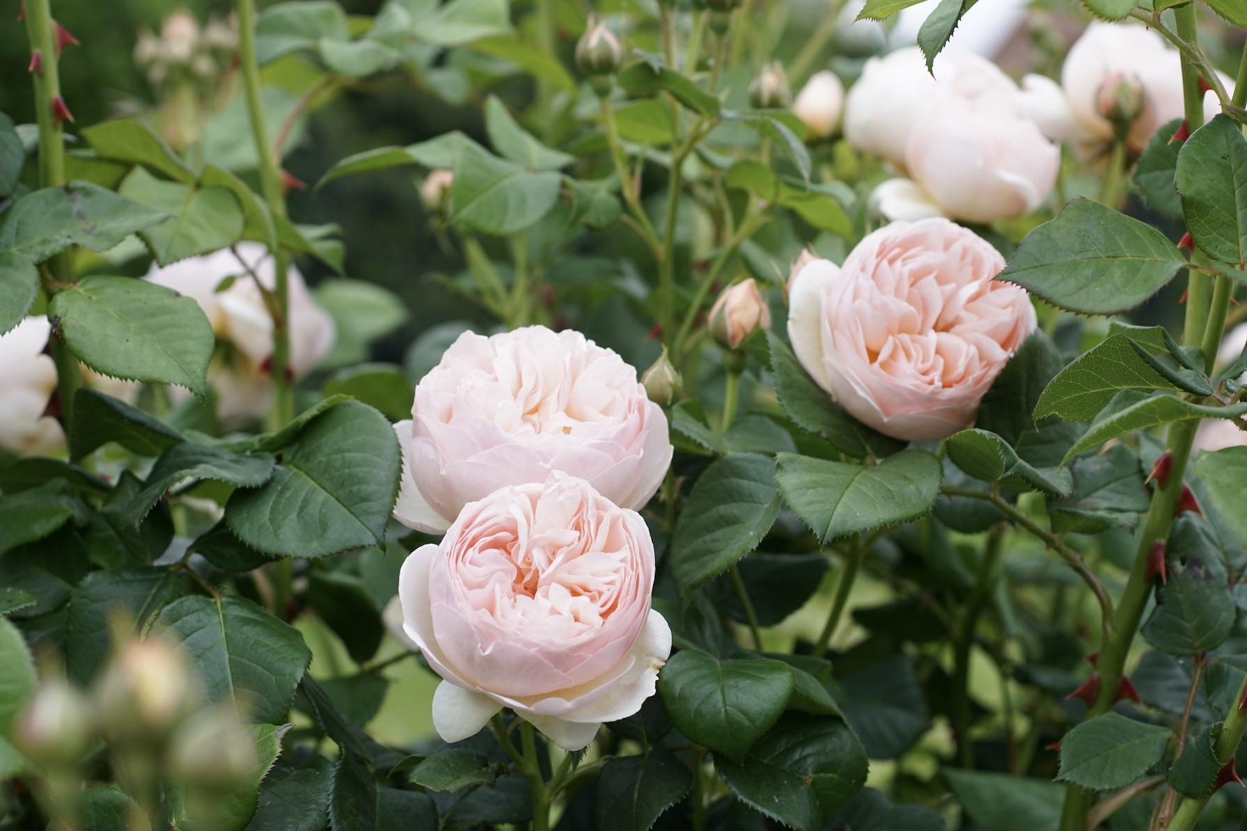 Rosier buisson Générosa® - Guillot N°1® - Roses Guillot®