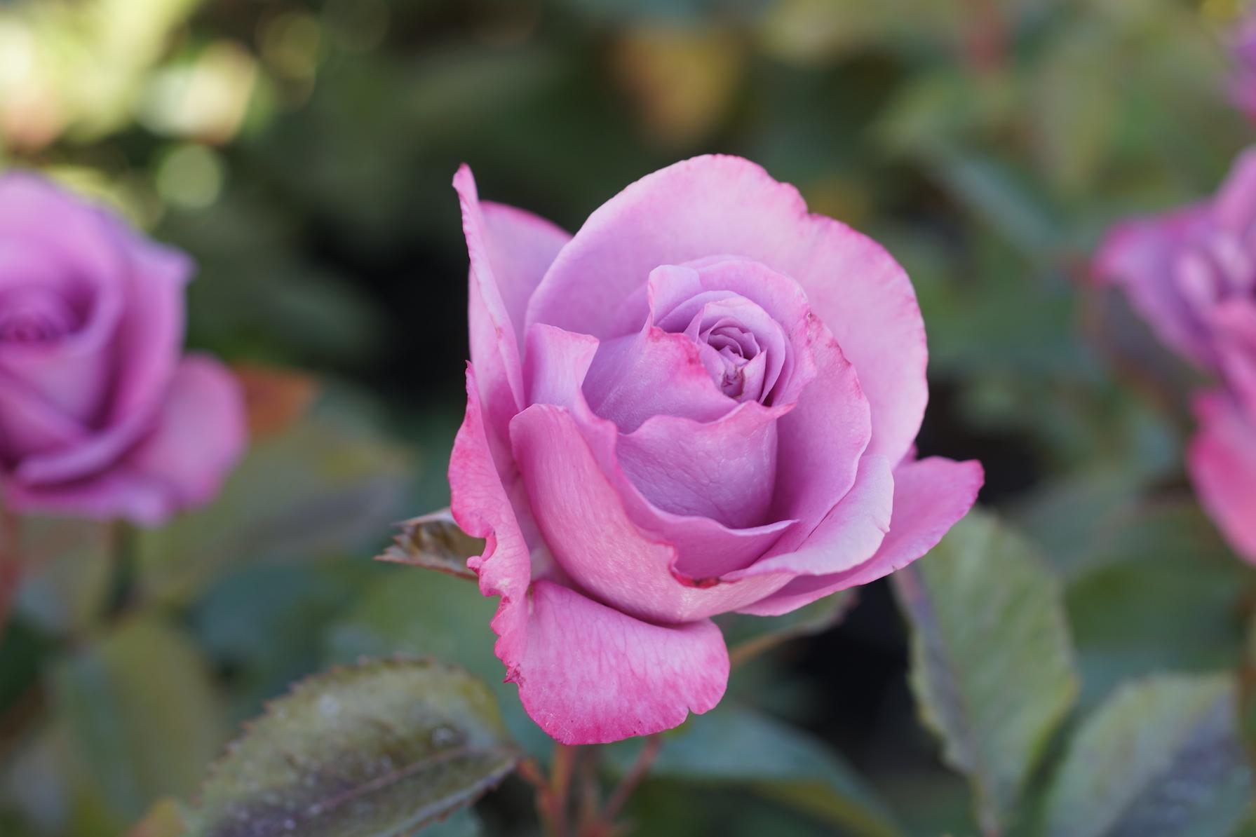 rosier Hybride de Thé Guillot® Bossuet, Aigle de Meaux® - Roses Guillot®