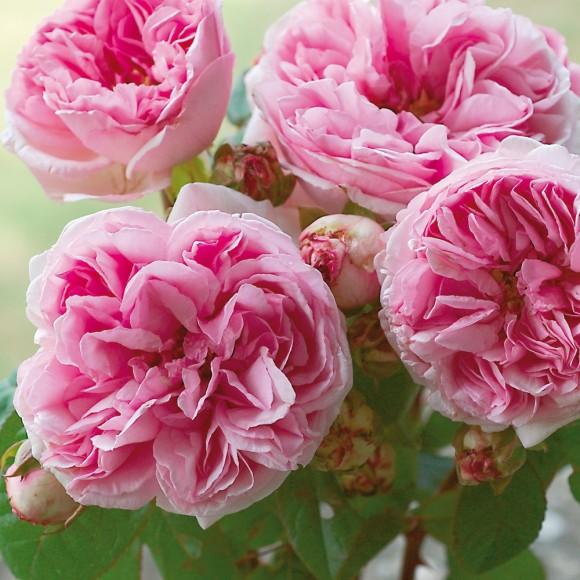 Rosier grimpant ancien Bourbon - Mme Ernest Calvat - Roses Guillot®