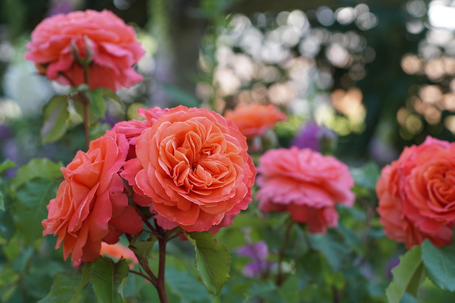 Rosier buisson Générosa® Emilien Guillot® - Roses Guillot®