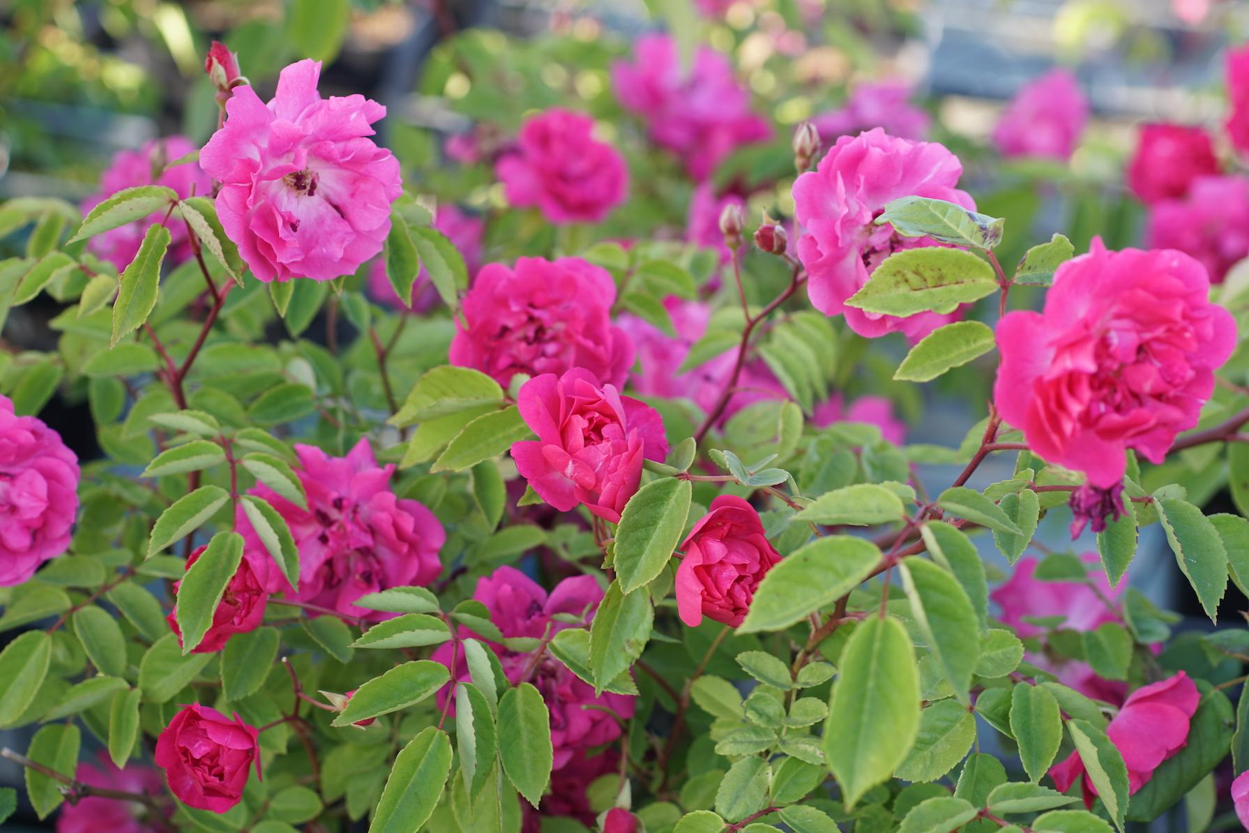Rosier miniature polyantha - Demitasse® - Roses Guillot®