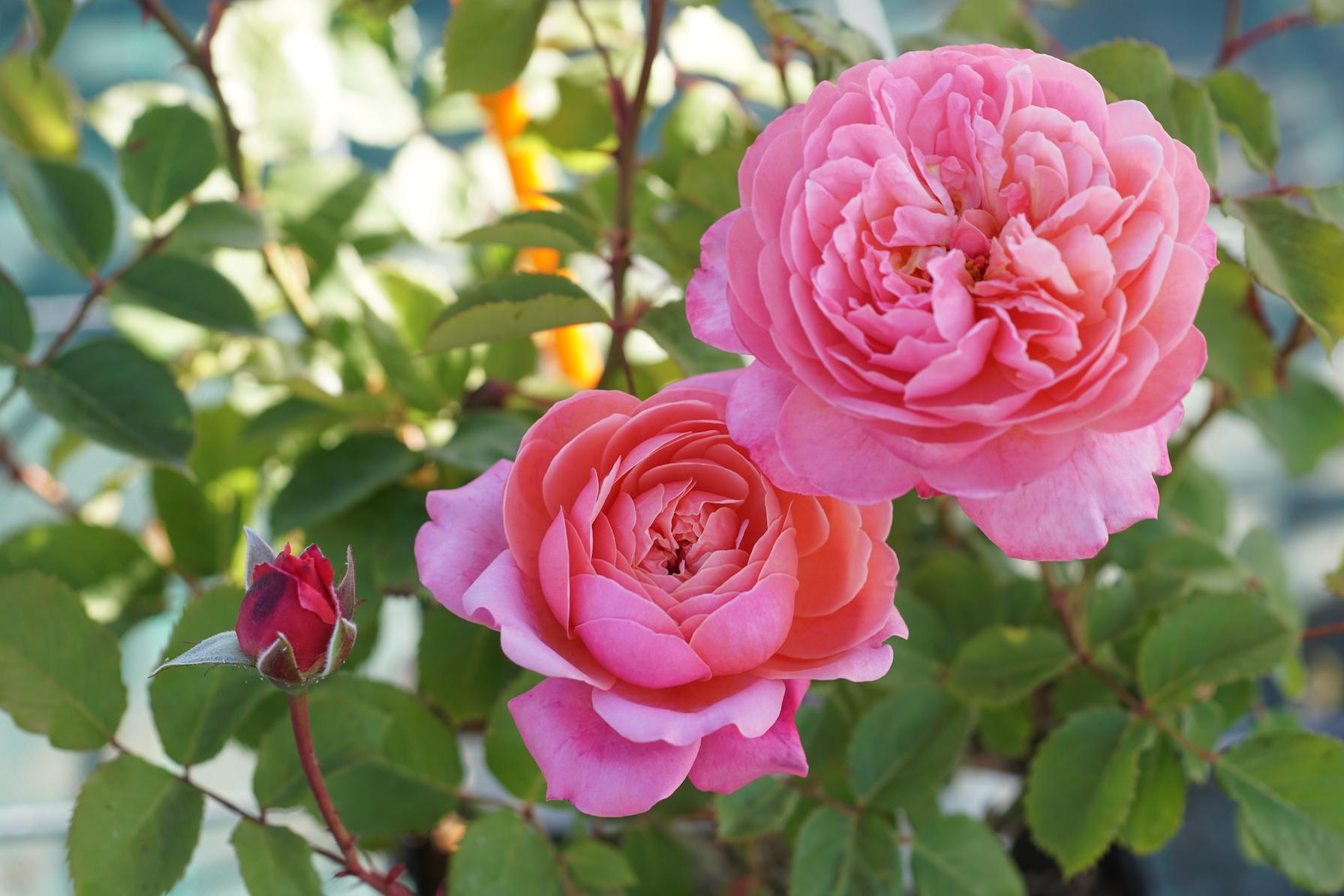 Rosier buisson au port souple Générosa® Prix PJ Redouté® - Roses Guillot®