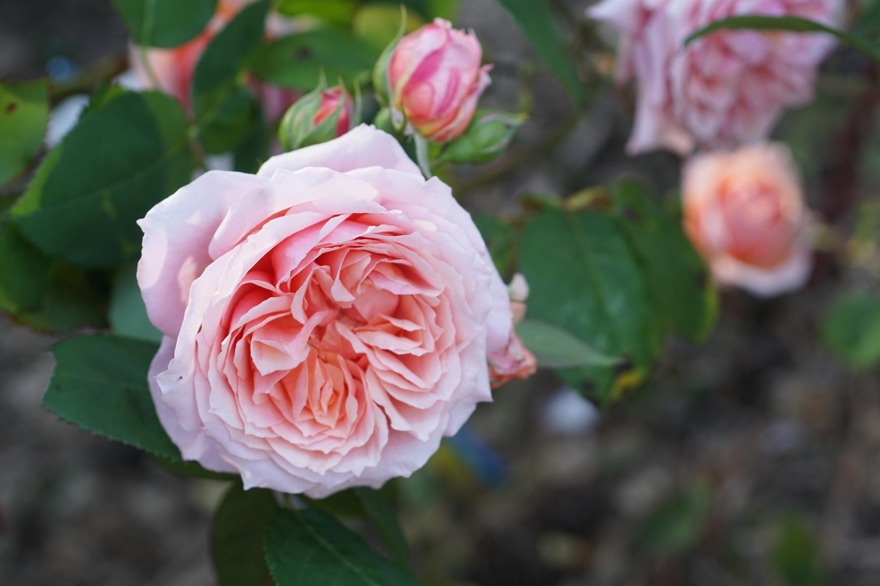Rosier arbuste Générosa® - Paul Bocuse® - Roses Guillot®