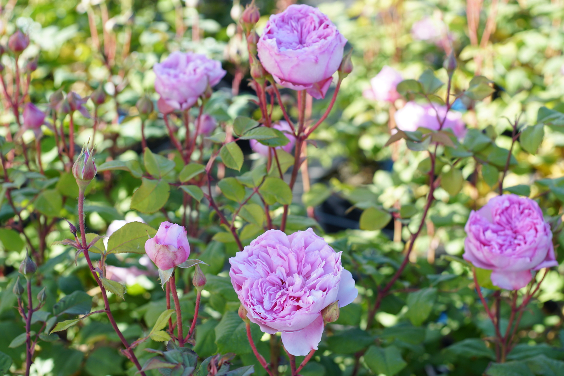 Rosier buisson Générosa® - Elodie Gossuin® - Roses Guillot®