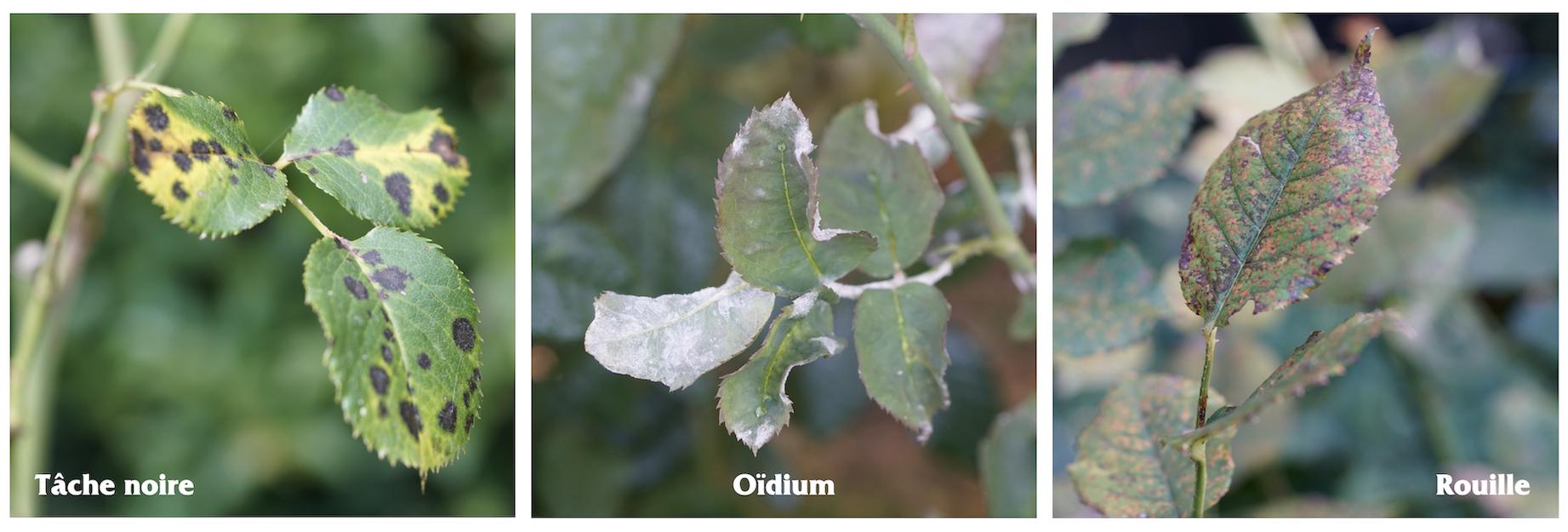 3 maladies principales : tache noire, oïdium et rouille - Roses Guillot®