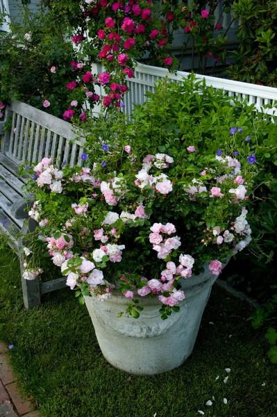 Rosier couvre sol Mareva en pot - Roses Guillot®