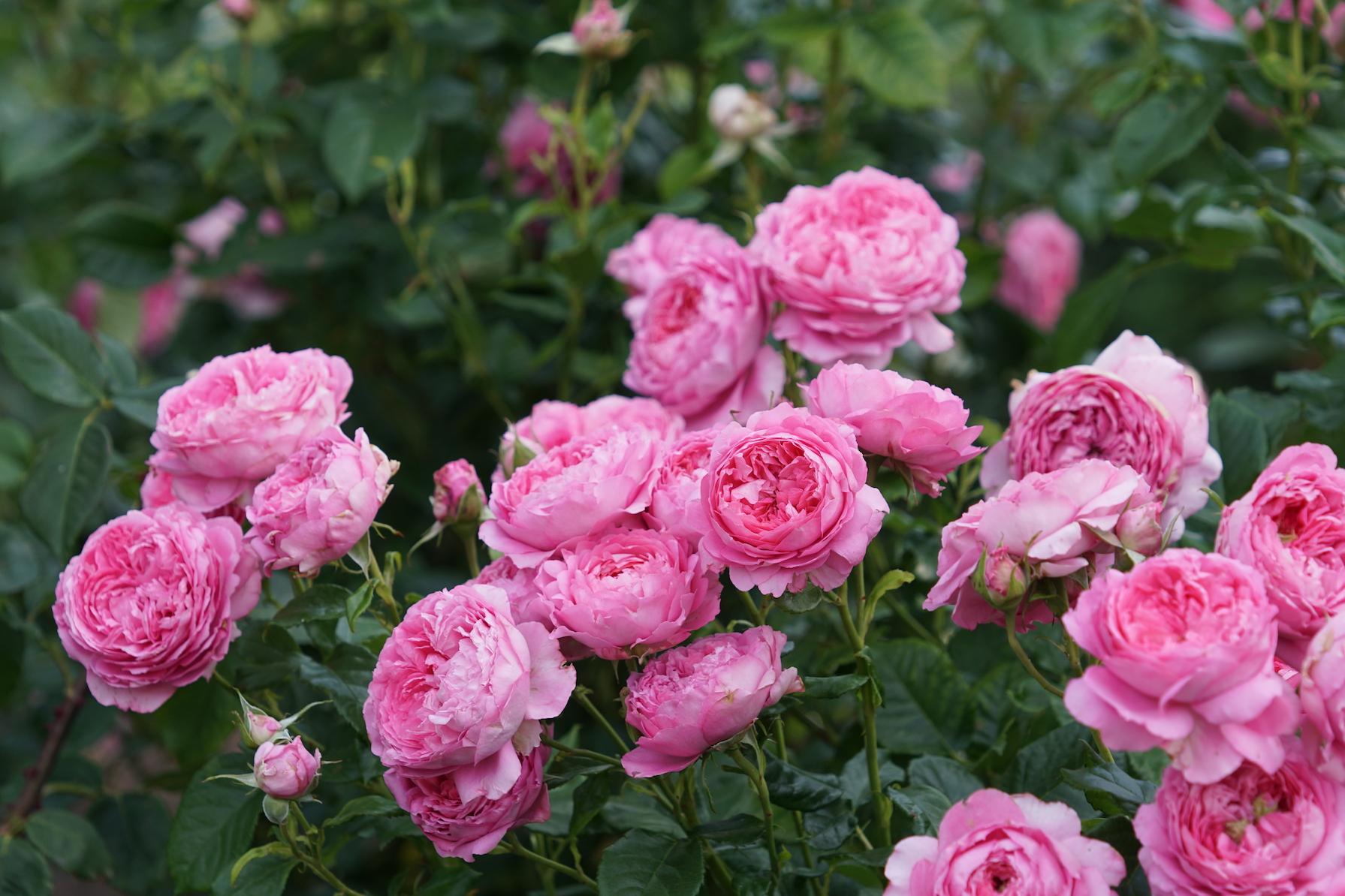 Rosier buisson Générosa® - Chantal Mérieux® - Roses Guillot®