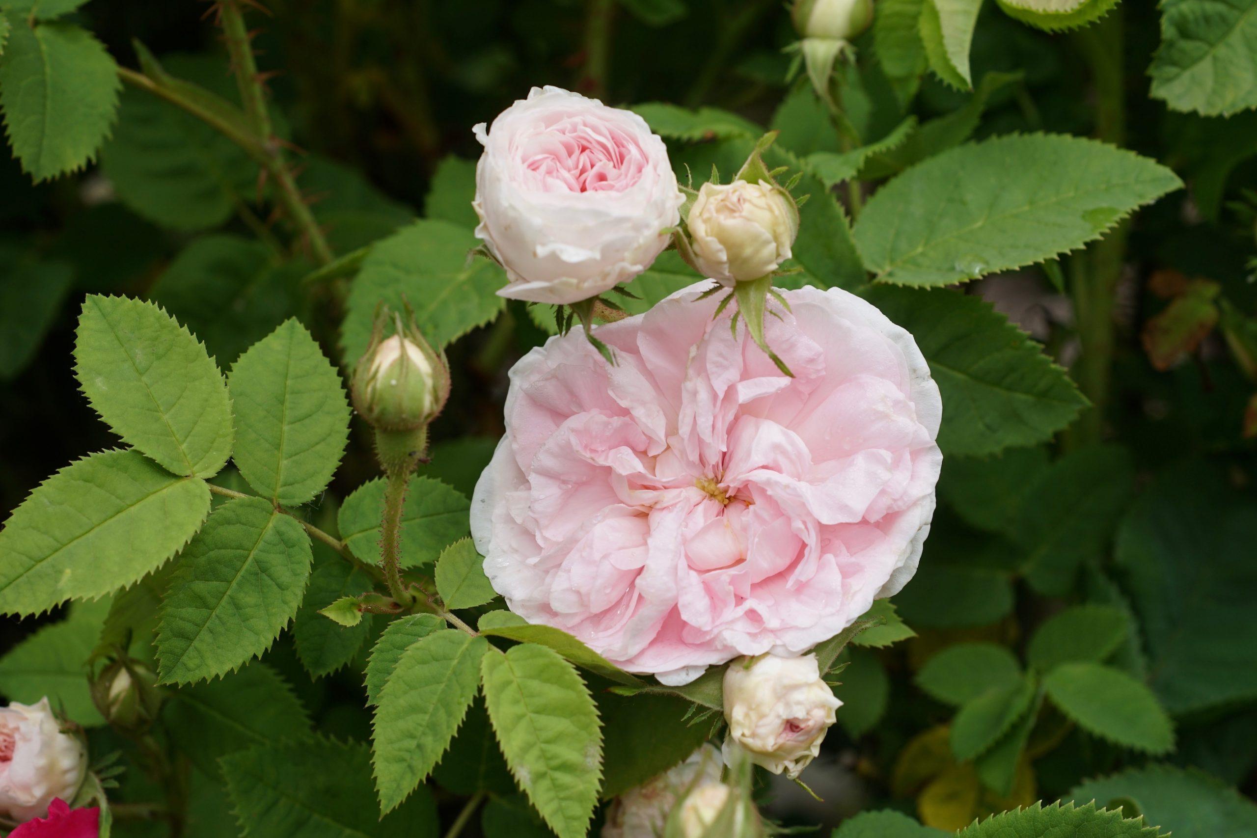 Rosier ancien Alba buisson - Cuisse de Nymphe émue - Roses Guillot®