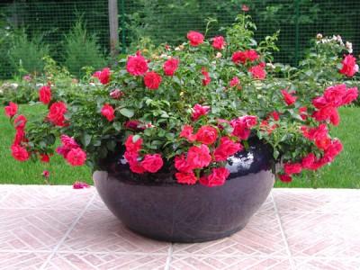 Un seul rosier est aussi très charmant en pot