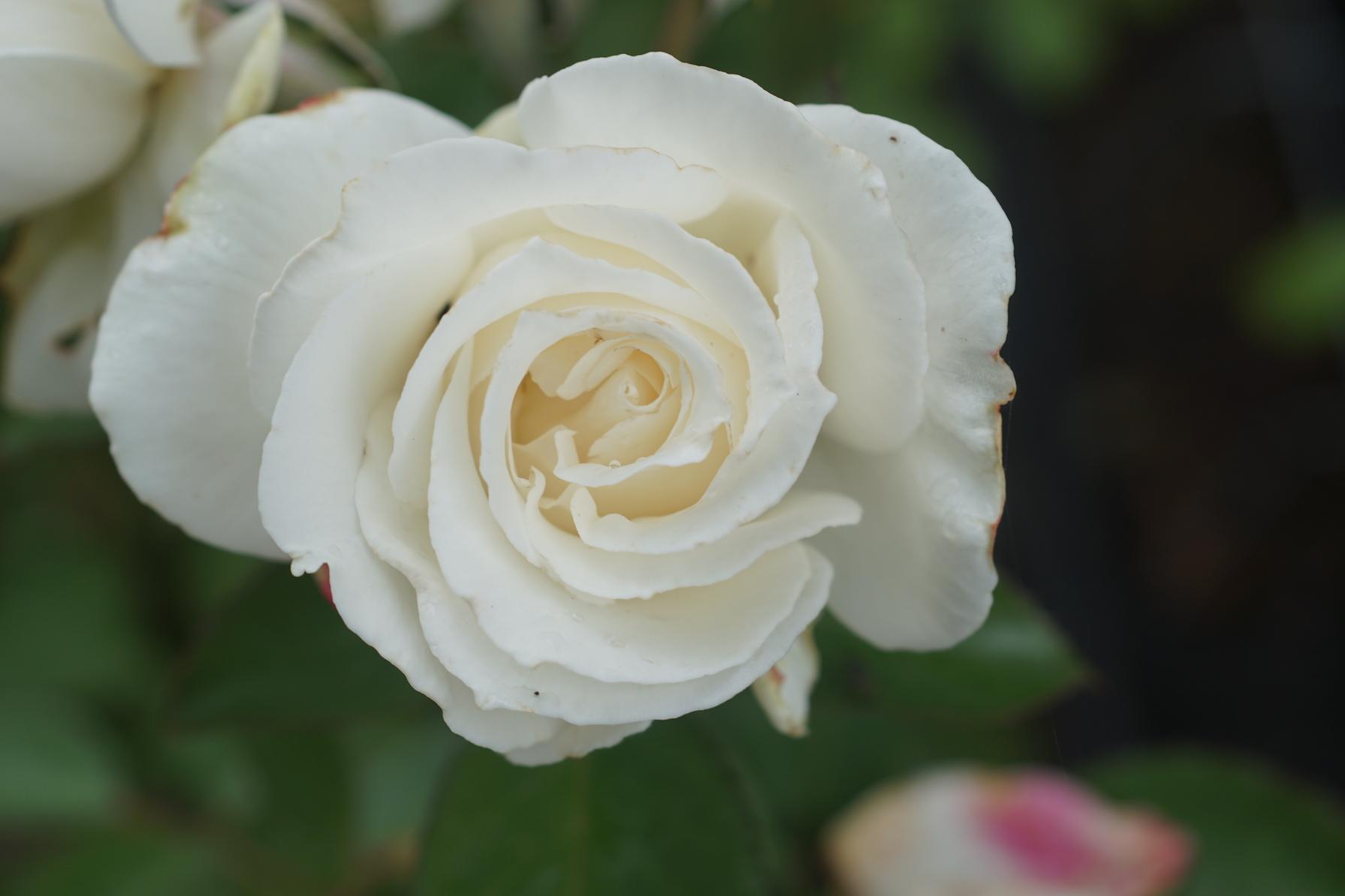 Rosier Hybride de Thé Guillot® - Fréderic Dard® - Roses Guillot®
