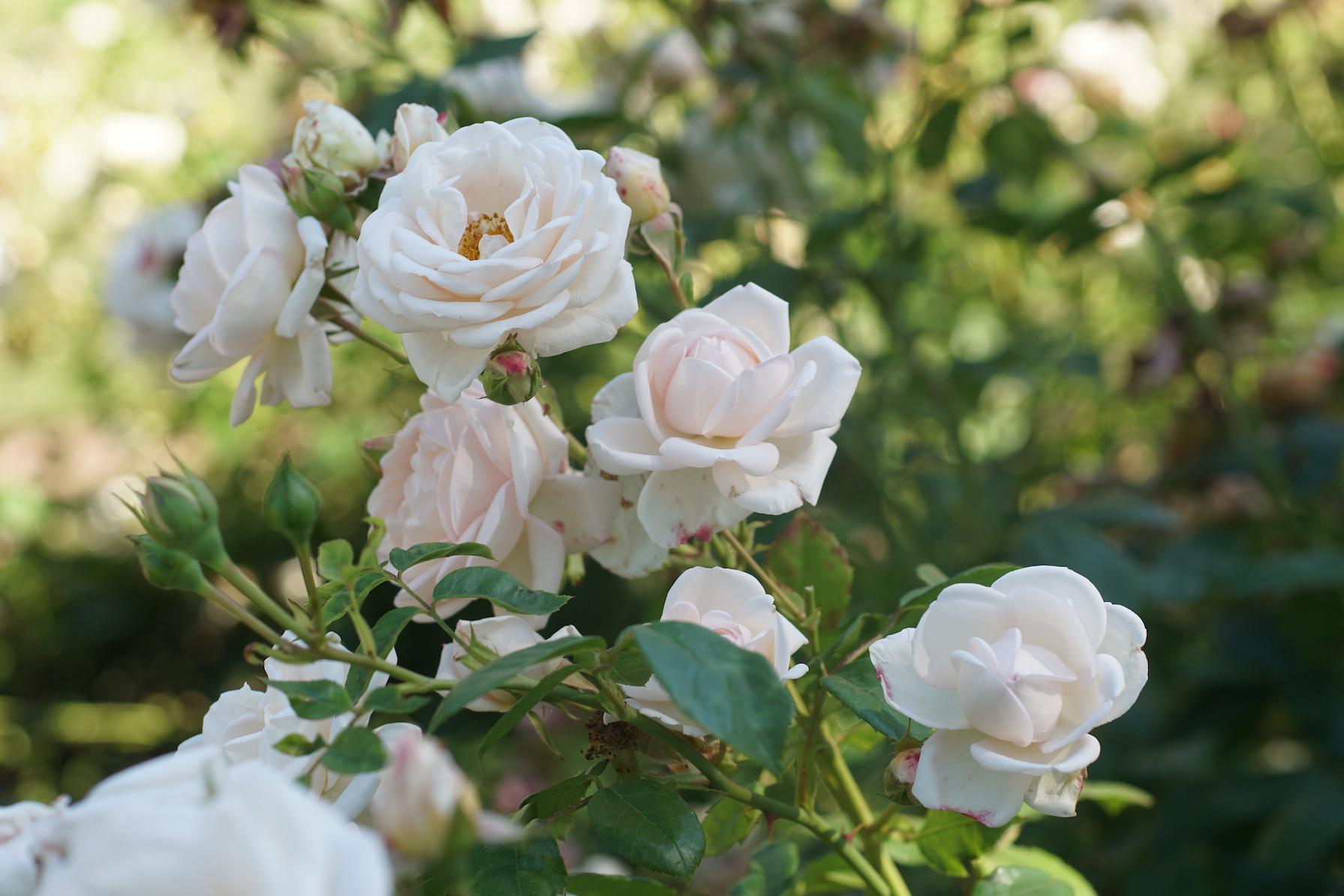 Rosier Générosa® buisson ou grimpant - Martine Guillot® - Roses Guillot®