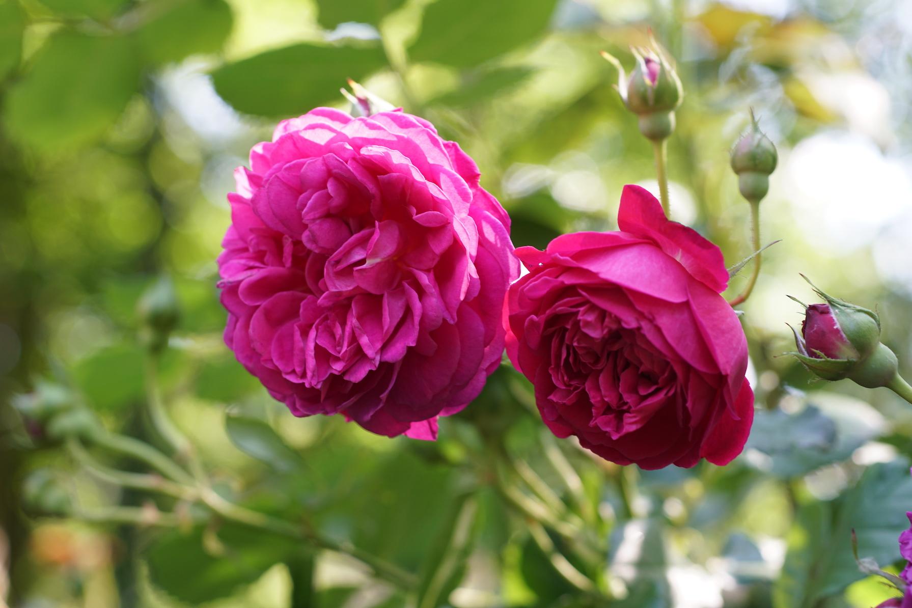 Rosier Générosa® buisson - Cybelle® - Roses Guillot®