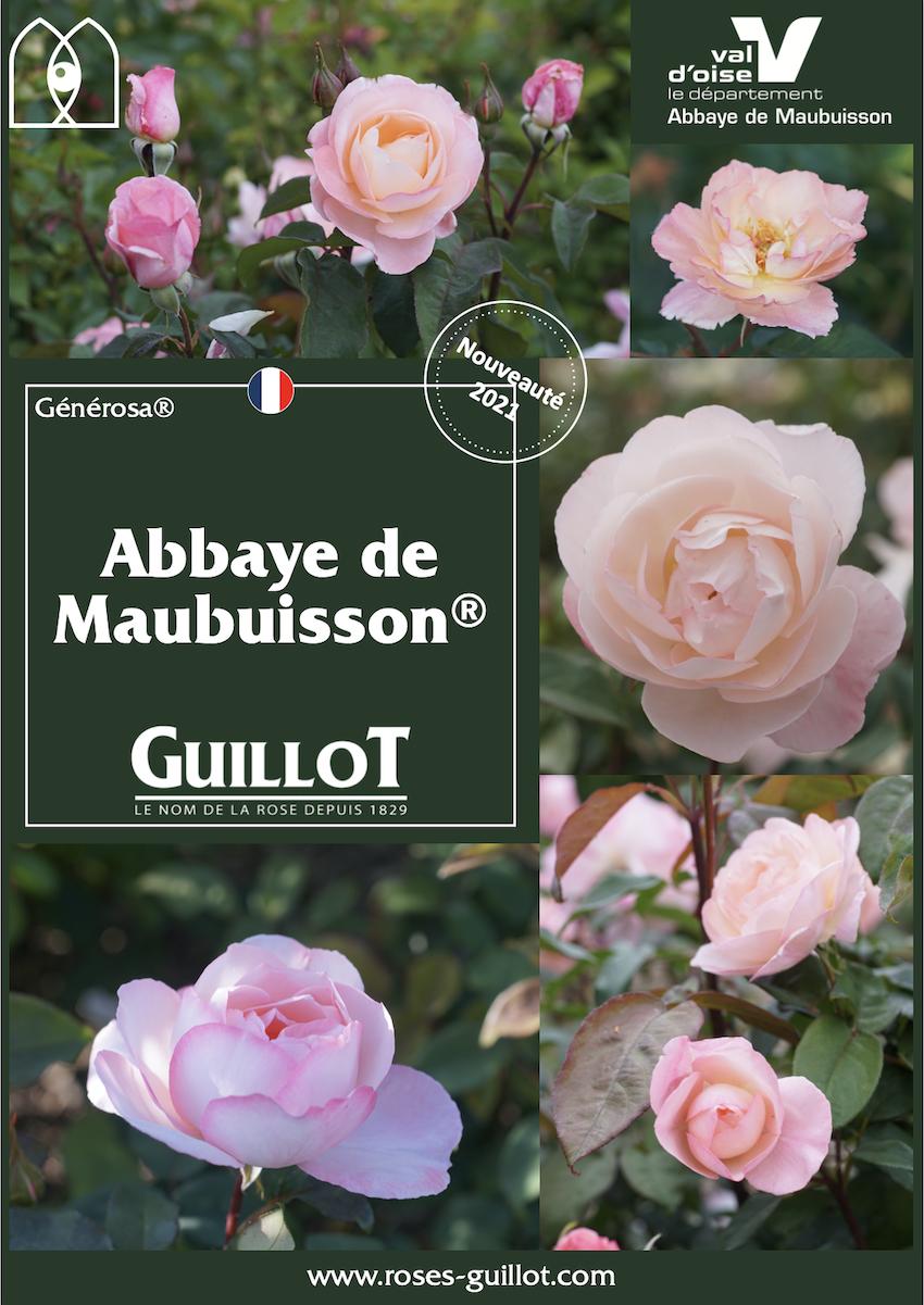 Abbaye de Maubuisson, Rosier Générosa® - Roses Guillot