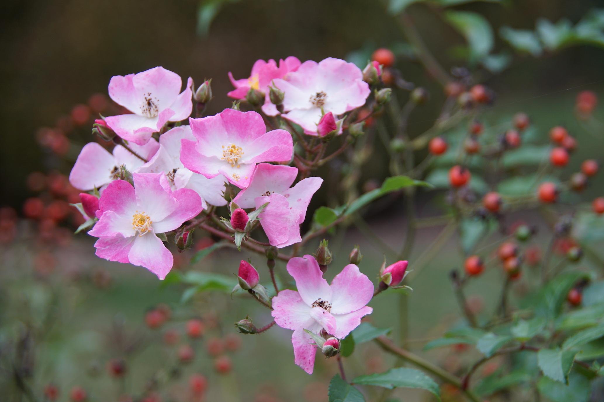 Rosier ancien Ballerina® - Roses Guillot®