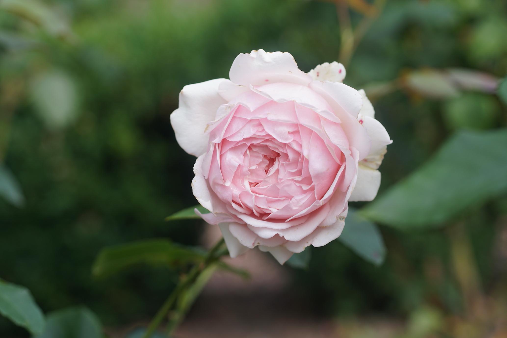 Rosier Carméline®, globuleuse -Roses Guillot®