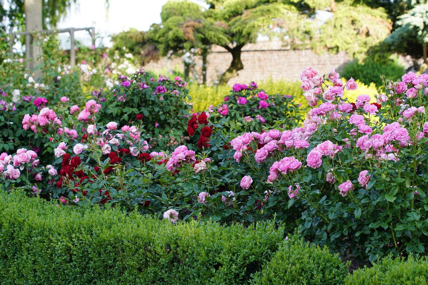 Massif de roses avec Chantal Mérieux, Rose Brouilly et Rose de Rescht - Roses Guillot®