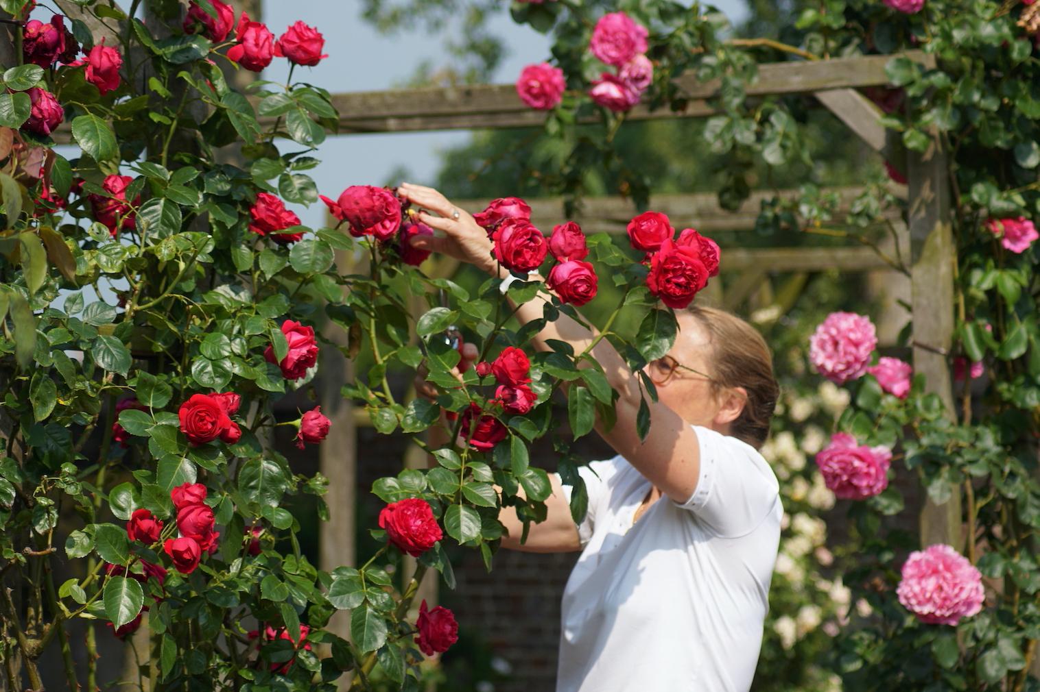 Couper les fleurs fanées - Roses Guillot®