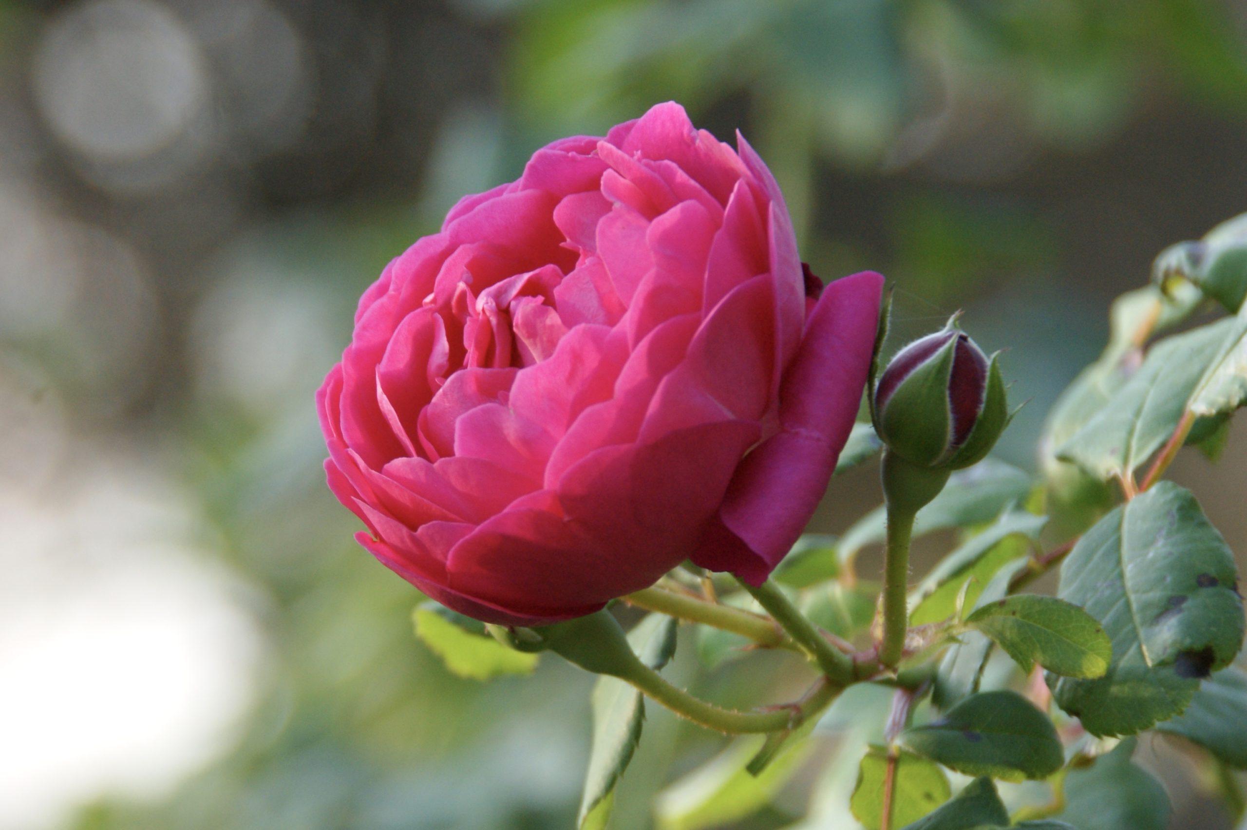 Rosier Cybelle®, en coupe - Roses Guillot®