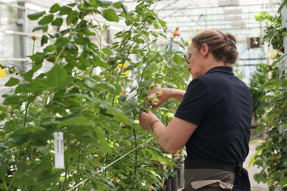 Hybridation dans le processus de création d'un nouveau rosier