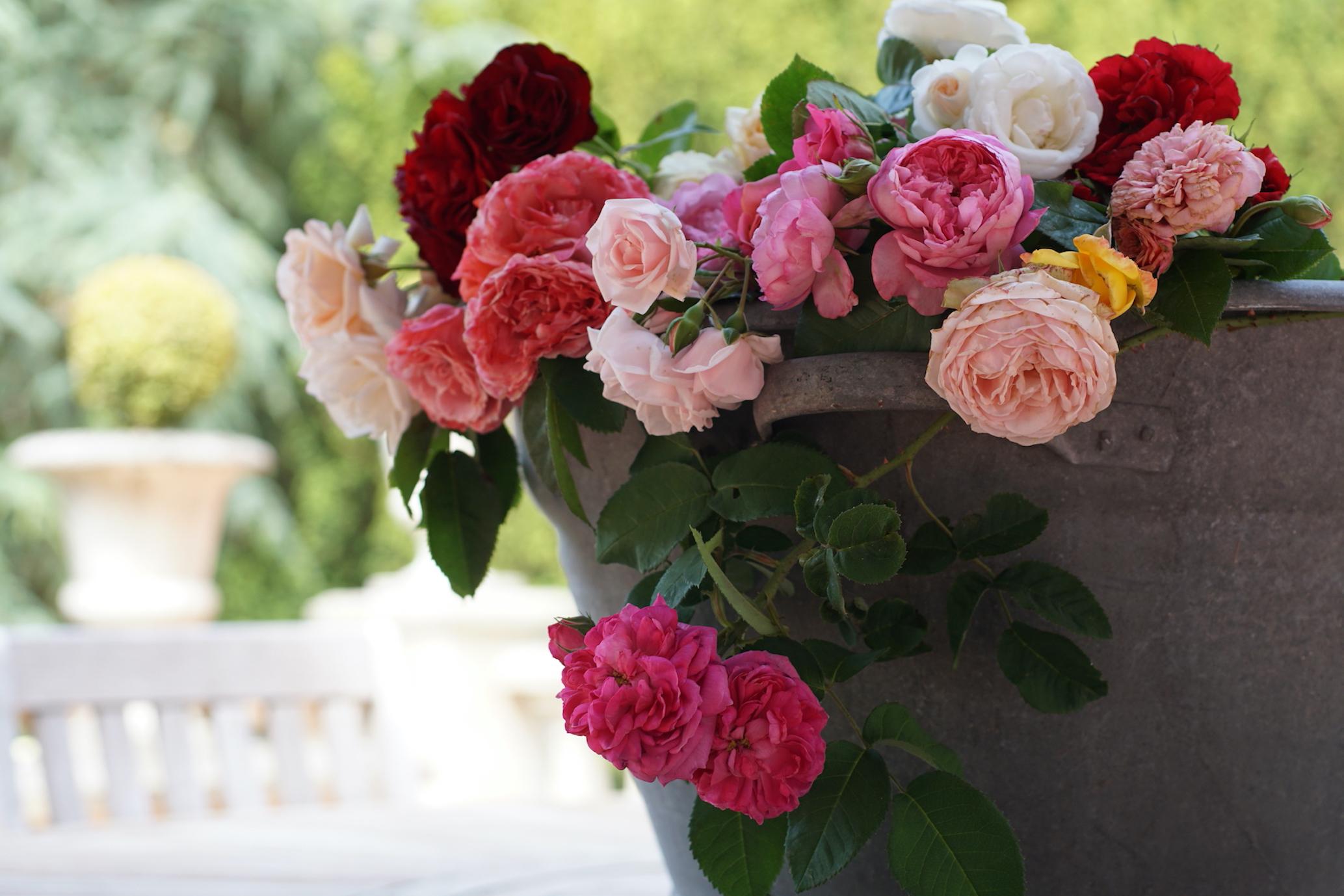 Réalisez votre rêve d'une rose Guillot® à votre nom ! - Roses Guillot®