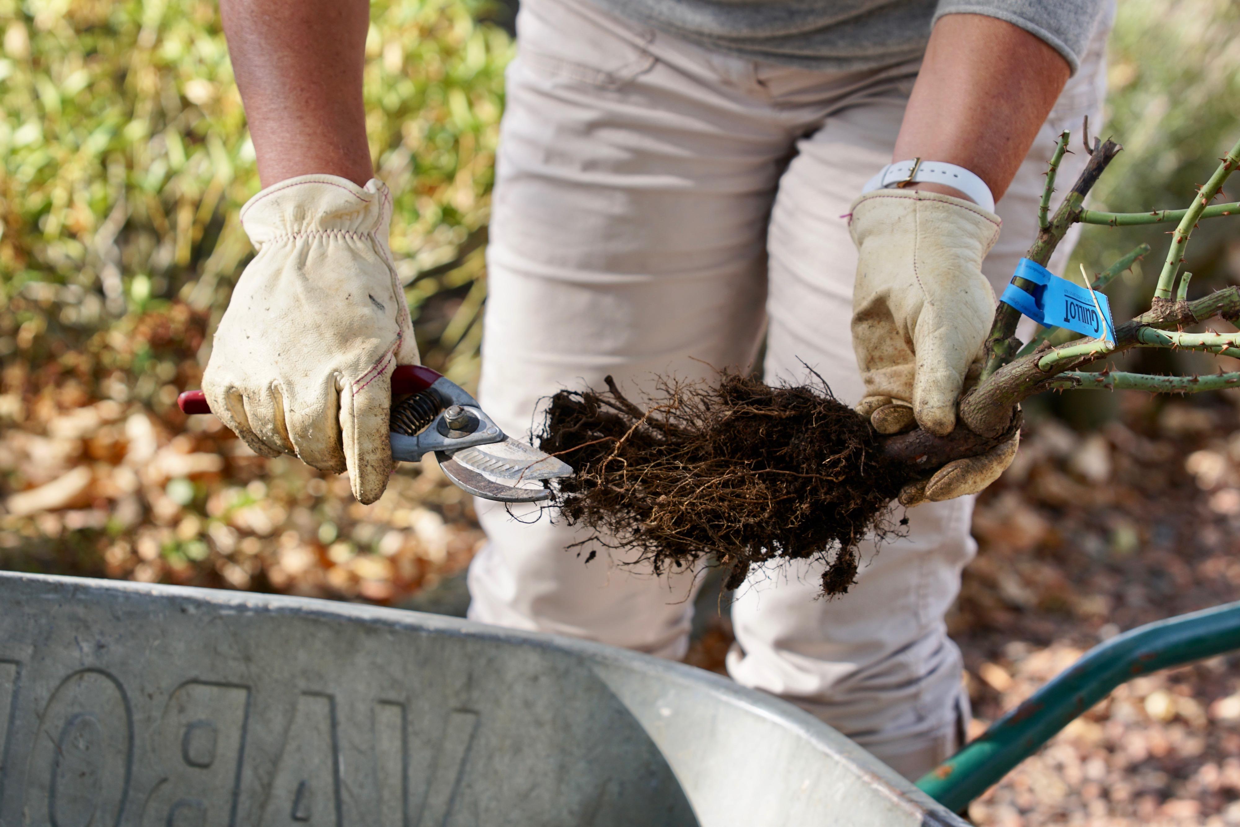 Plantation : rafraichir les racines