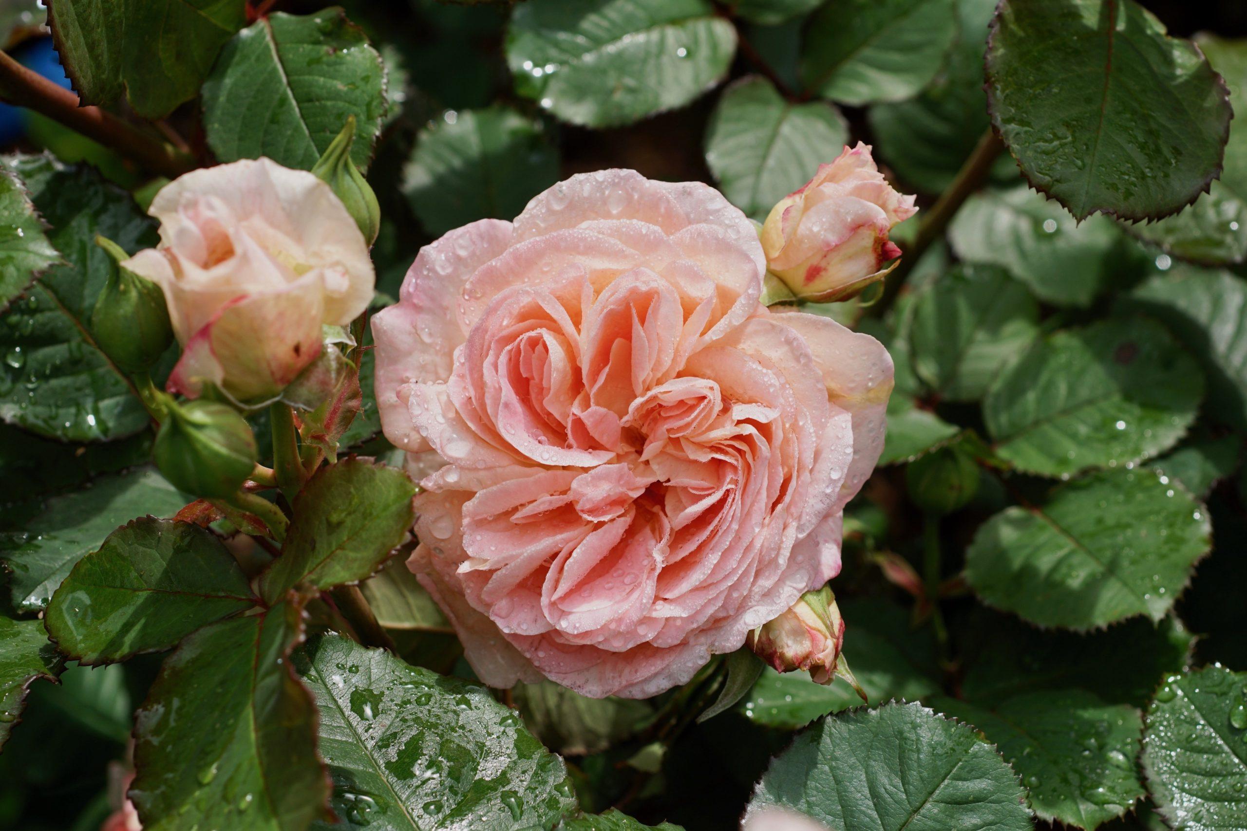 Fiona Gelin, Générosa - Roses Guillot®