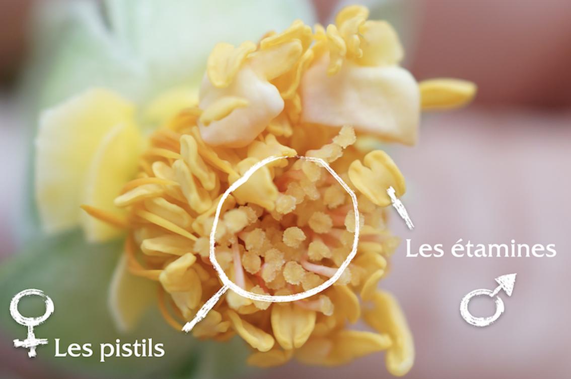 Etamines et pistils de la fleur - Roses Guillot®