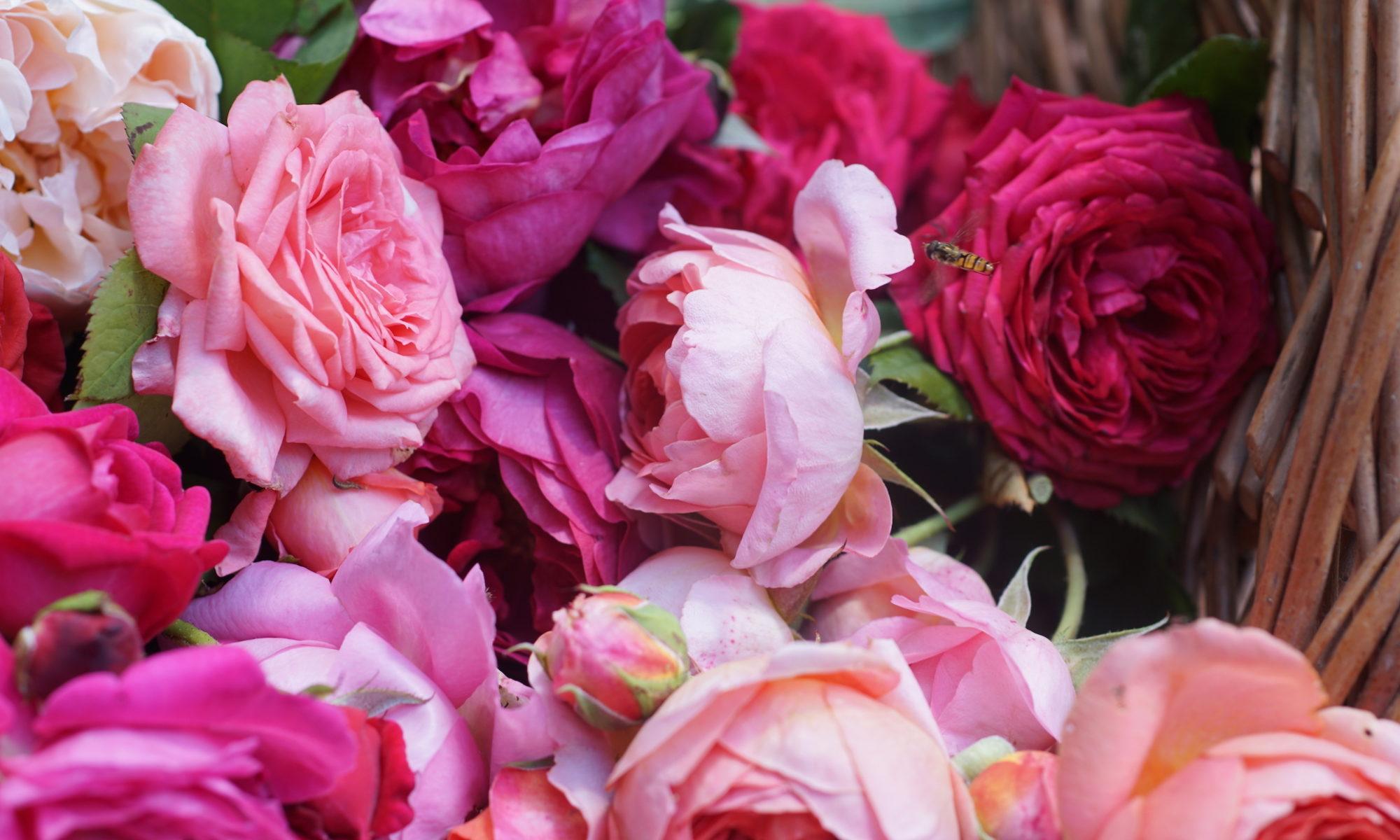 Formes des Roses Guillot