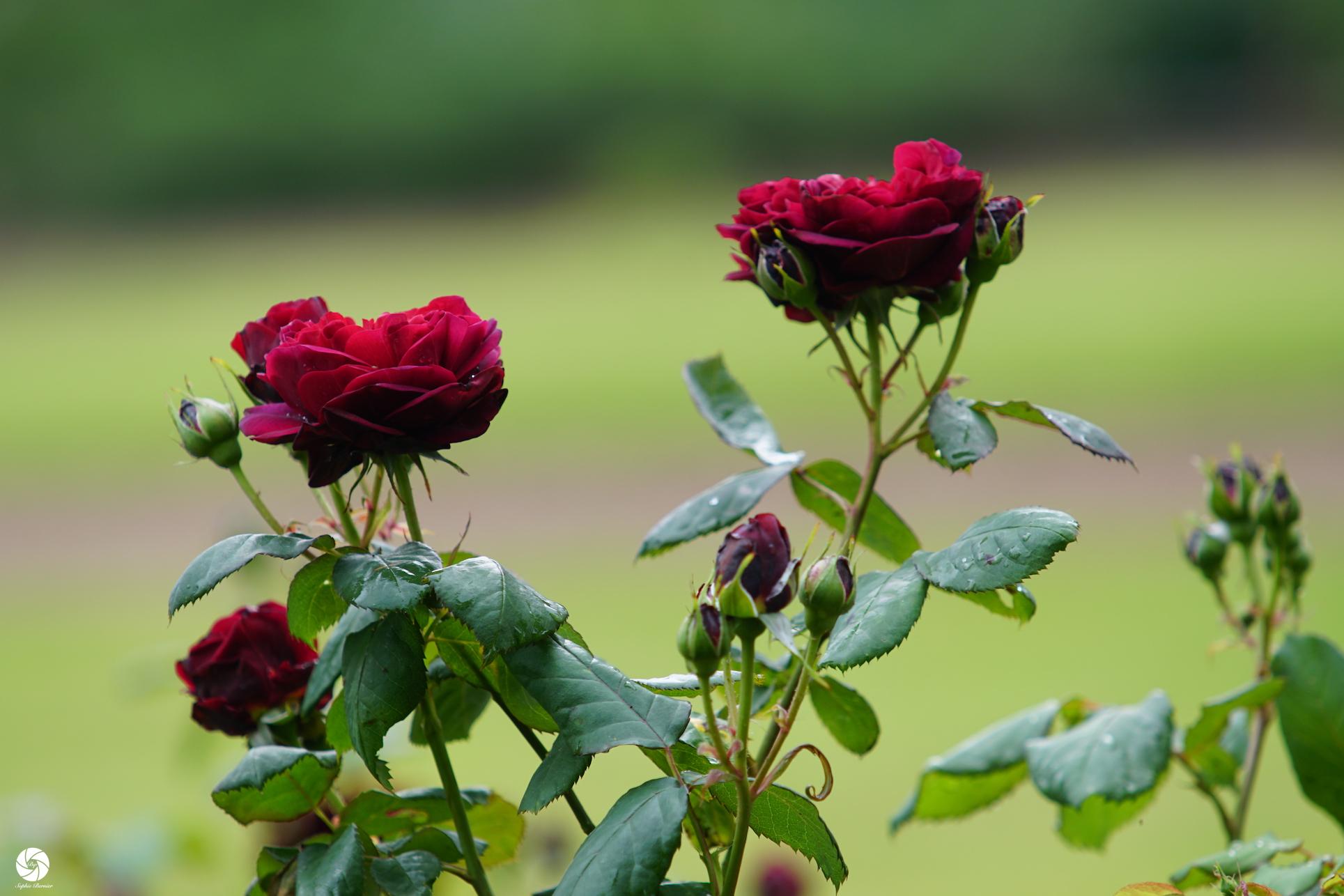 Générosa® Bicentenaire de Guillot - Roses Guillot®