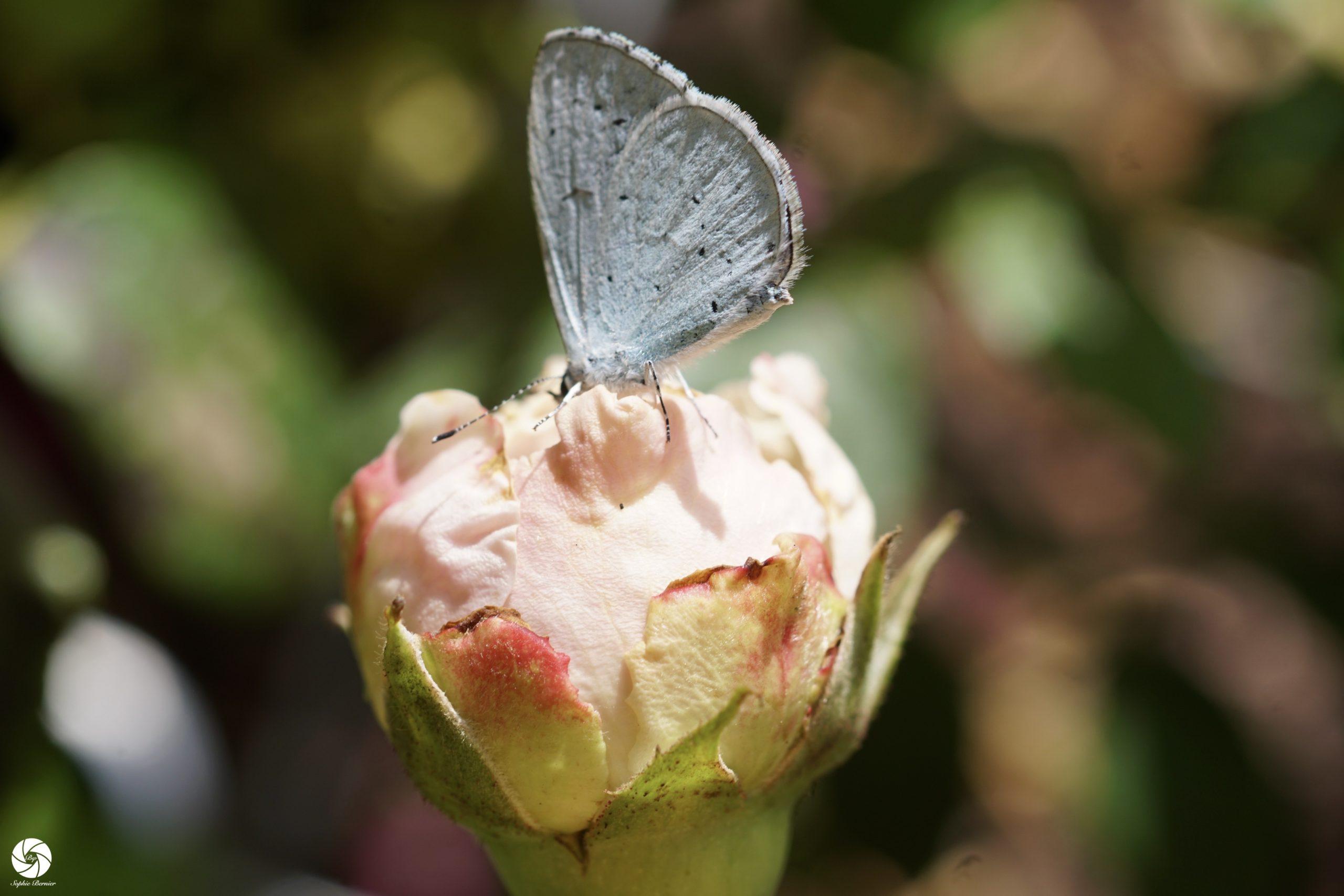 La Générosa® Carméline et son papillon- ©Roses Guillot®