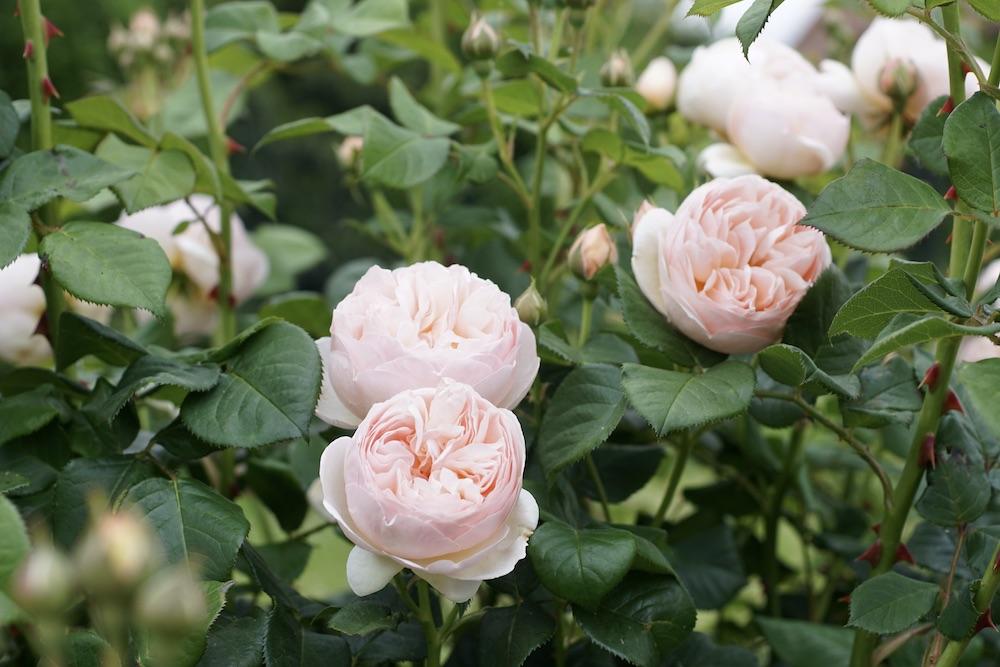 Nouveau rosier très résistant aux maladies : GUILLOT N°1