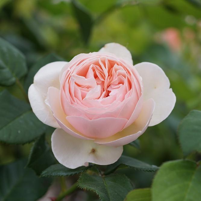 Nouveau rosier incroyablement résistant : Guillot N°1