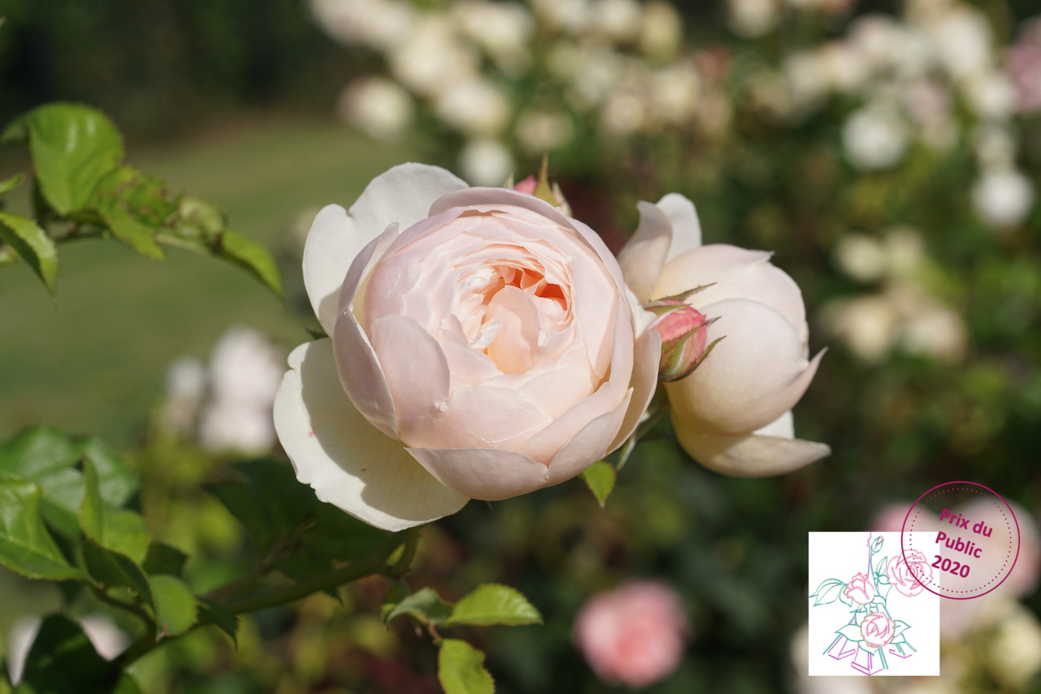 La reconnaissance du public au concours de Bagatelle - Roses Guillot®