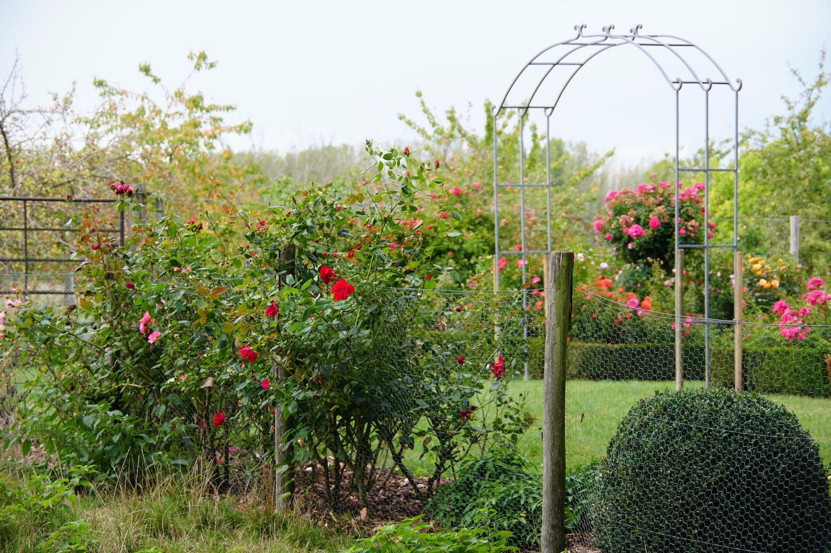 Jardin fleuri - Roses Guillot®