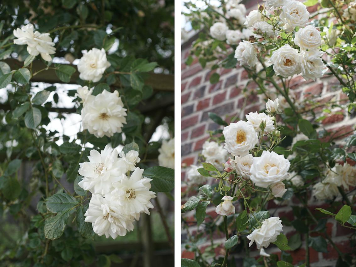 Lace Cascade® et Martine Guillot® - Roses Guillot®
