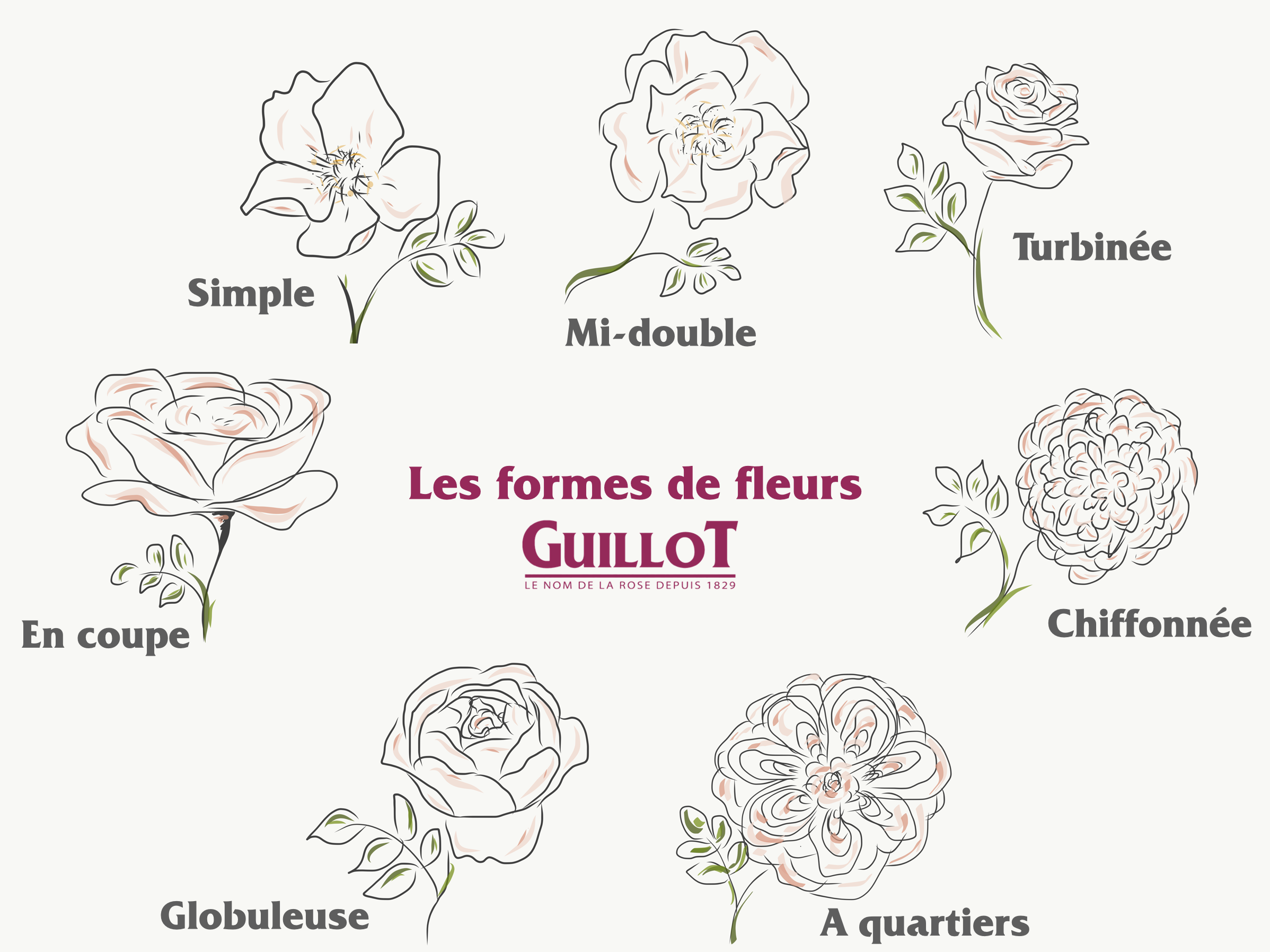 Les formes de fleurs - Roses Guillot®
