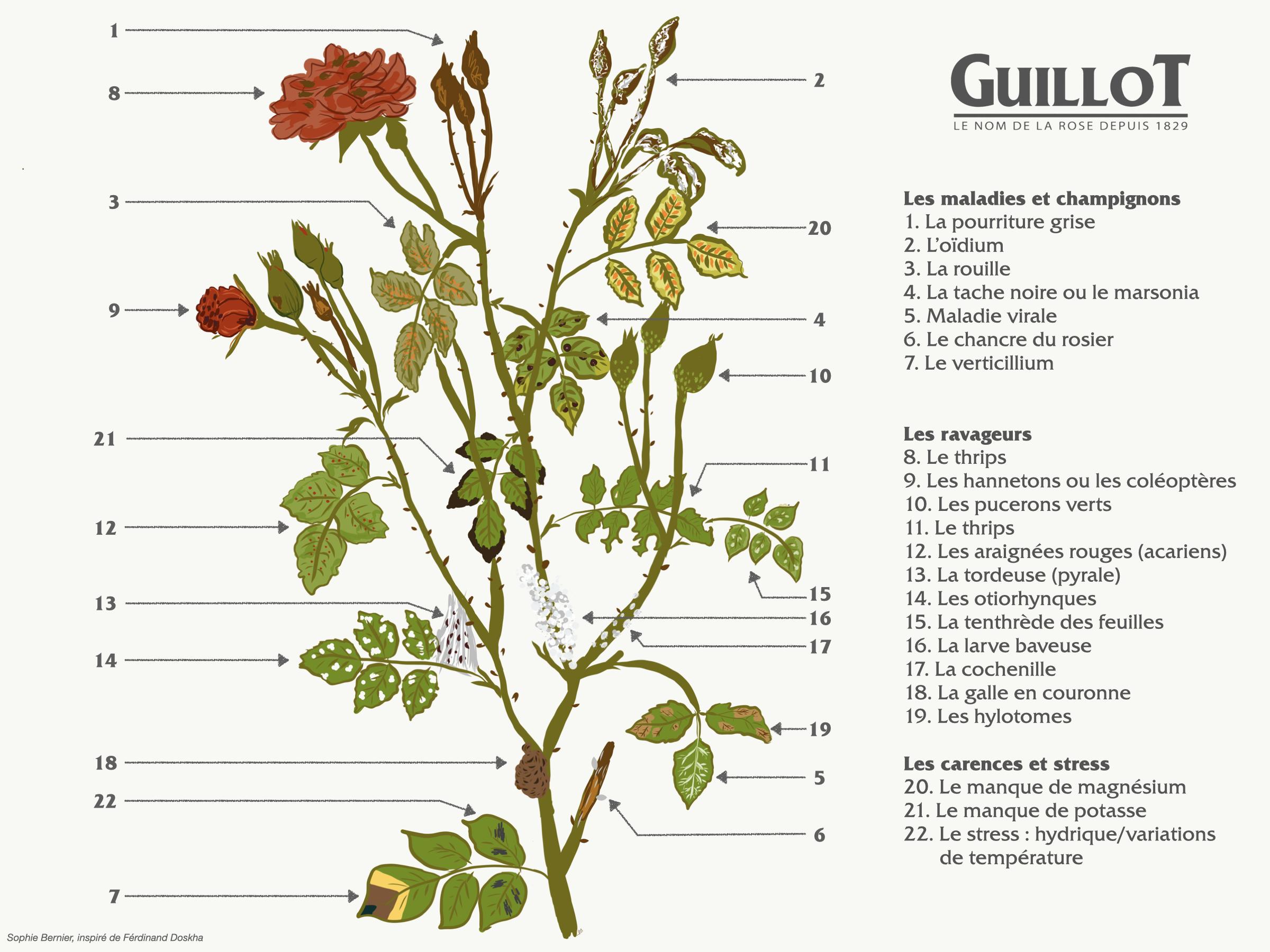 Schéma des différentes maladies et ravageurs - Roses Guillot®.