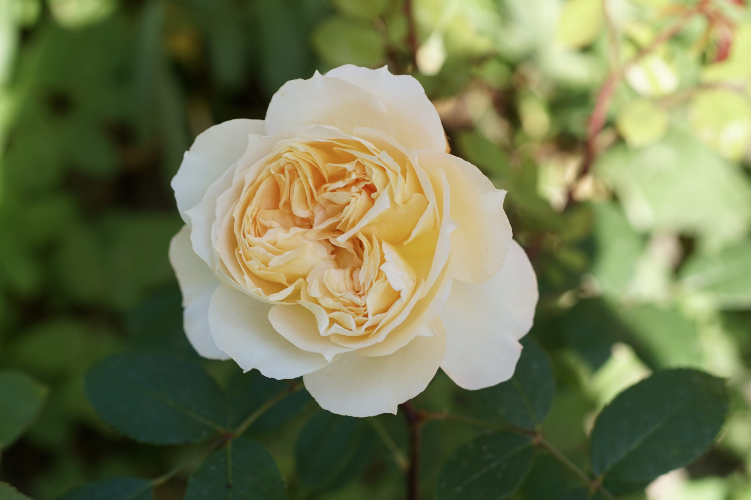 Marc-Antoine Charpentier, Générosa - Roses Guillot