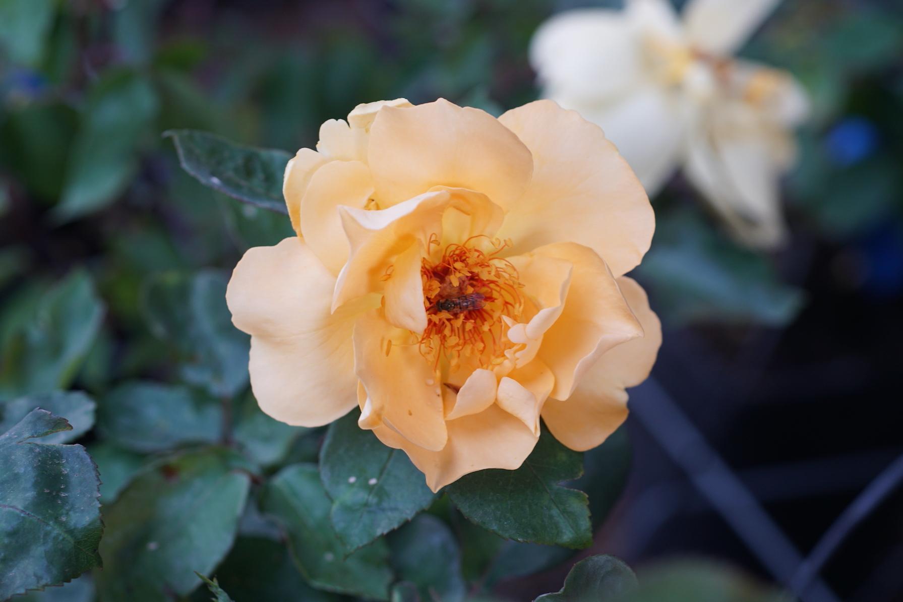 Rosier Mikado®, rose mi-double -Roses Guillot®