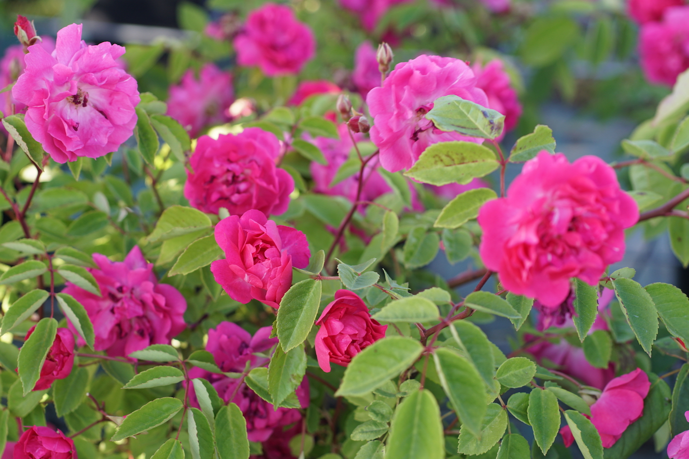 Mini Rosier polyantha Demitasse - Roses Guillot®