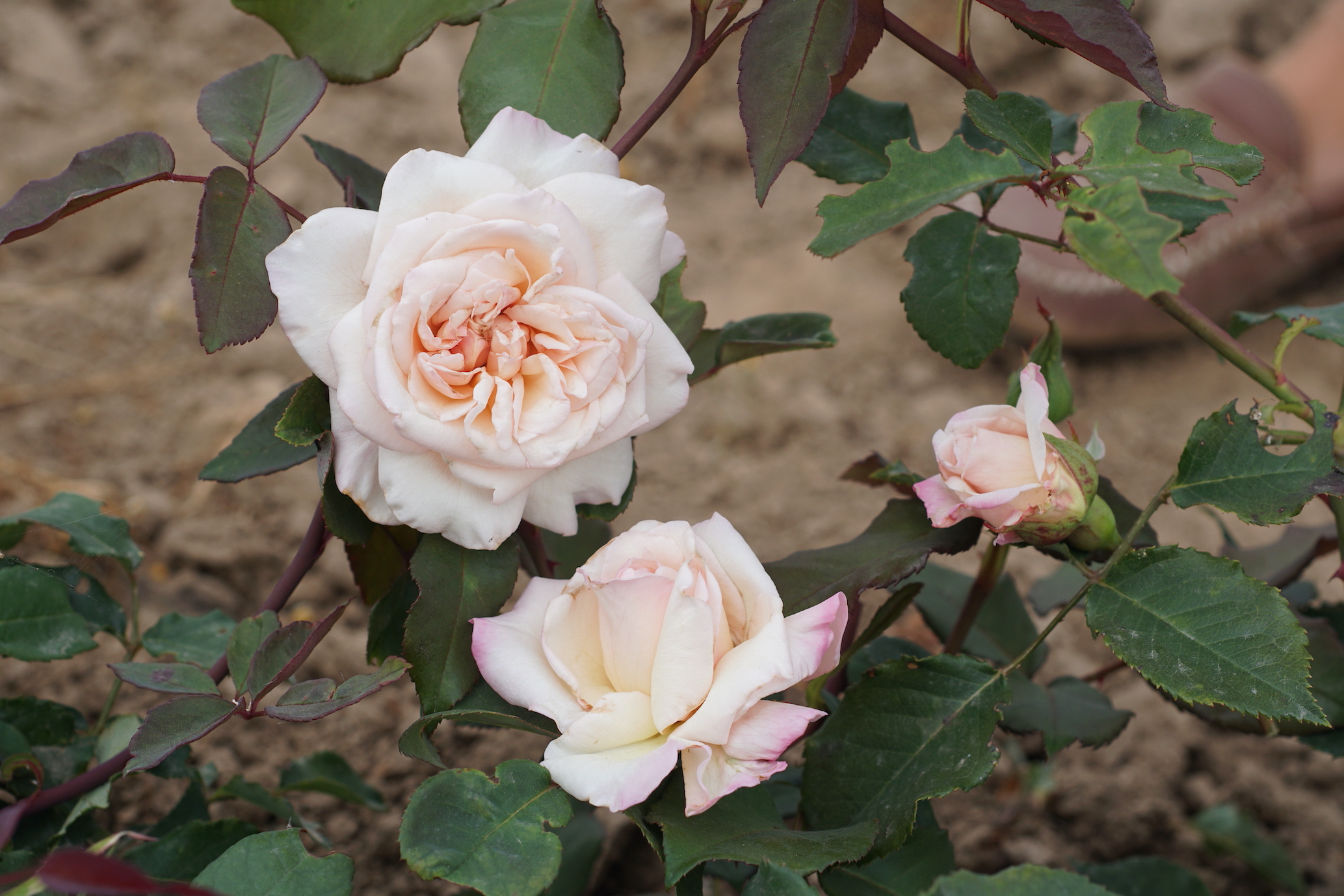 Rose Thé ancienne Mme Falcot - Roses Guillot®