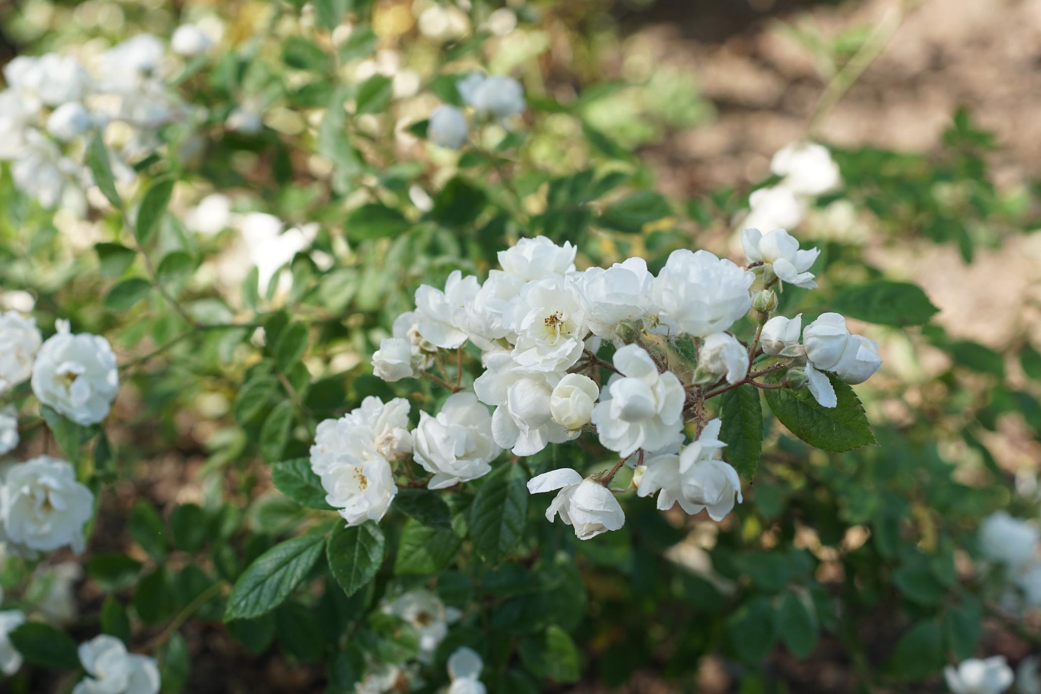 Pâquerette, premier Polyantha - Roses Guillot®