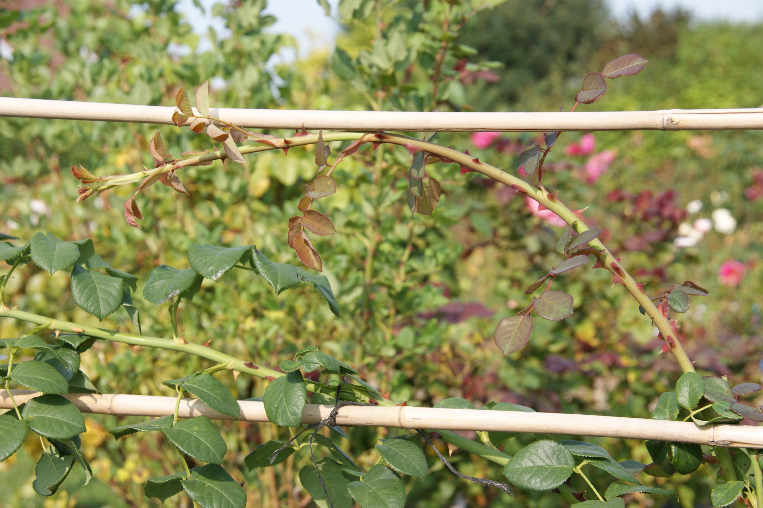 Palissage des charpentières - Roses Guillot®