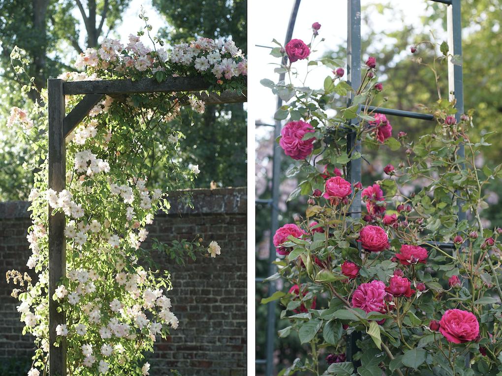 Phyllis Bide et Rose Salma Es-Said®- Roses Guillot®