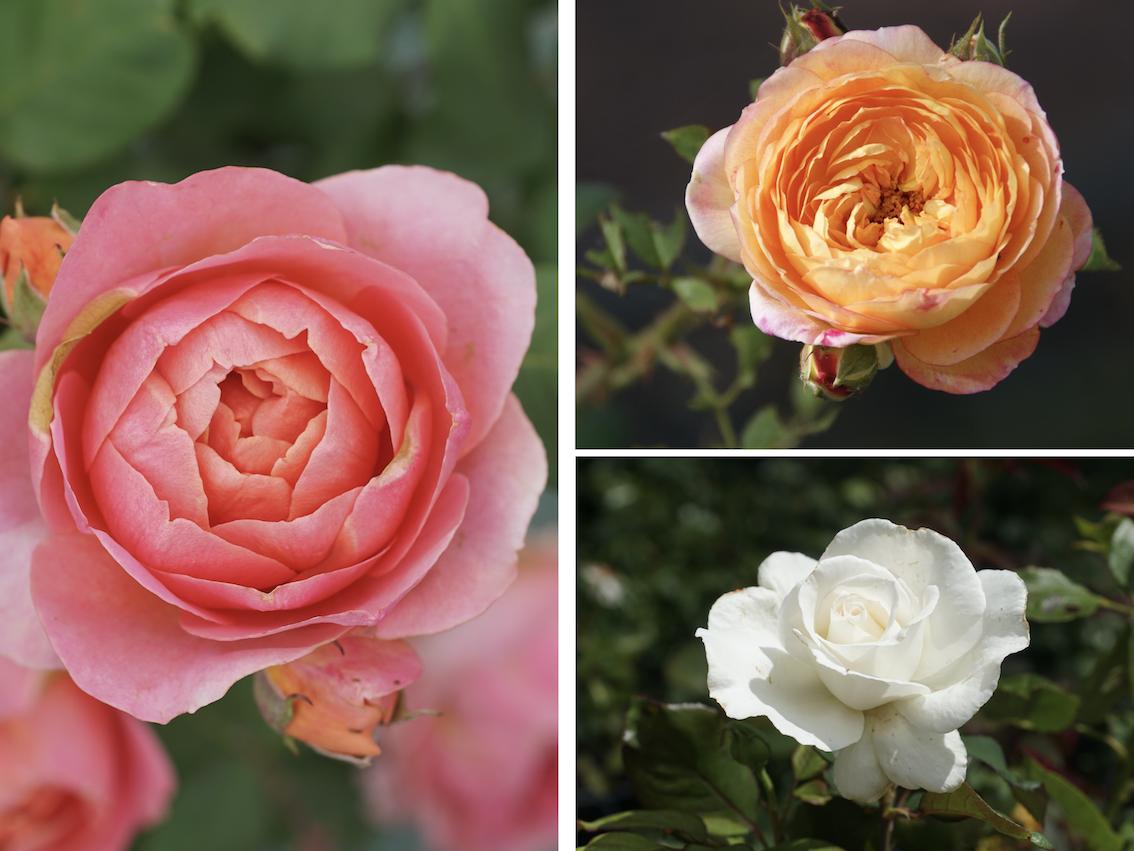 Roses Parfumées Amandine Chanel®, Rosomane Janon® et Frérédic Dard® - ©Roses Guillot®