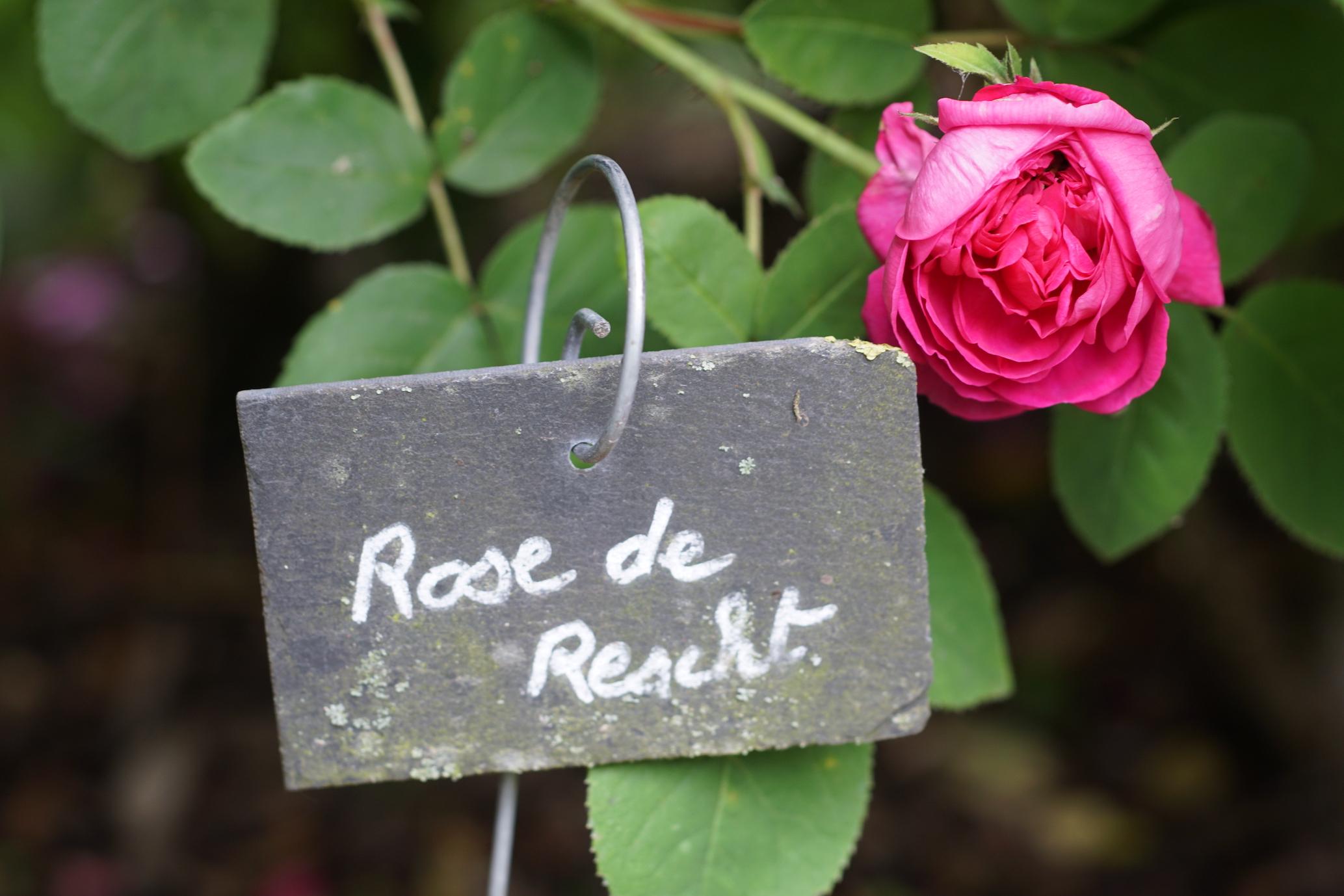 Rosier ancien Rose de Rescht - ©Roses Guillot®