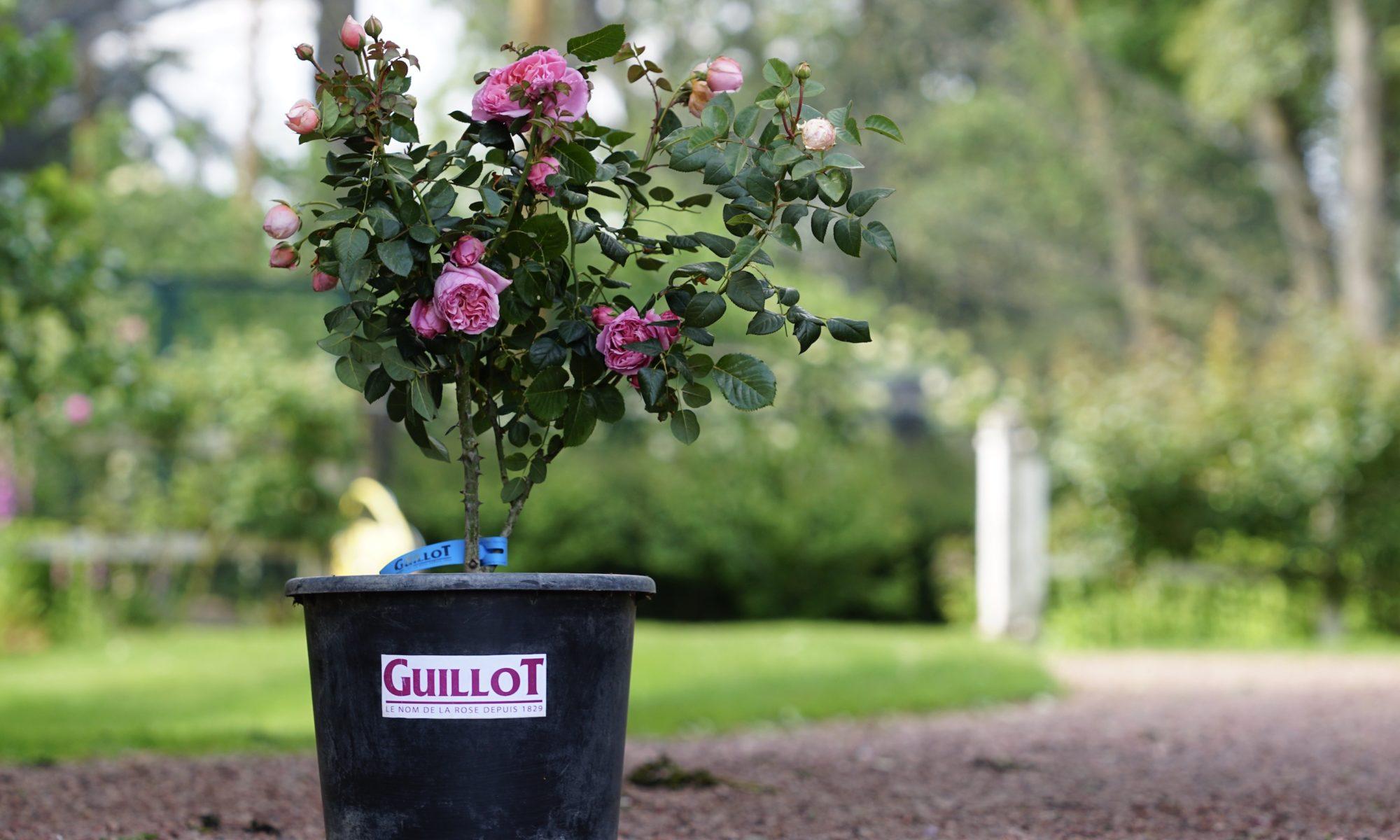 Rosier pour pot - Roses Guillot